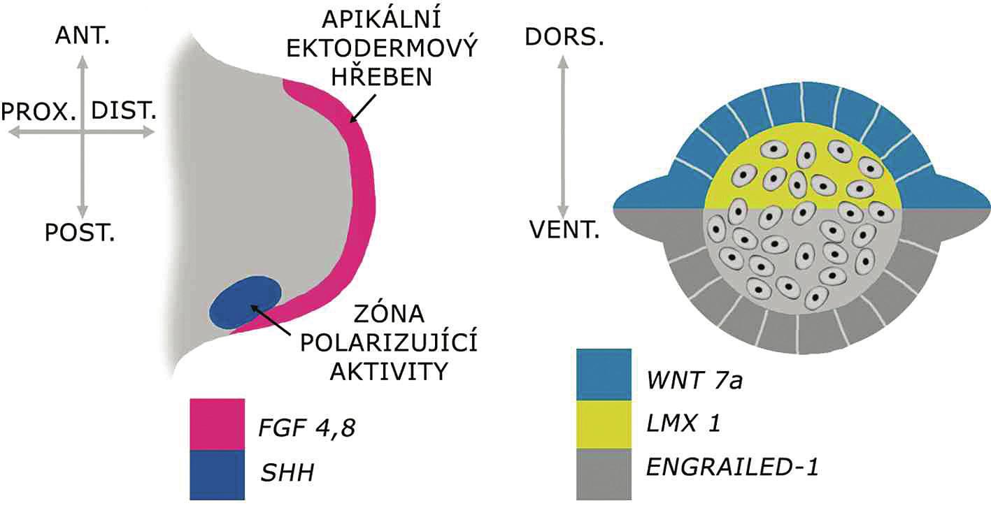 Genová regulace základních os vyvíjející se končetiny   Apikální ektodermový hřeben produkujíce faktory z rodiny FGF, klíčové pro proximodistální růst končetiny. Palcomalíková (anteroposteriorní) osa je kontrolována buňkami zóny polarizující aktivity produkujícími SHH. Dorzoventrální osa je iniciována expresí WNT7a v dorzálním ektodermu, který vzápětí indukuje expresi LMX1 v dorzálním mezenchymu končetinového pupenu. Ventrální ektoderm exprimuje ENGRAILED1