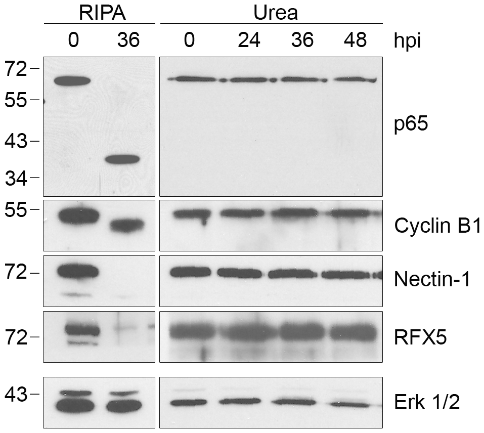 Proteolysis of four additional CPAF substrates is dependent on cell processing.