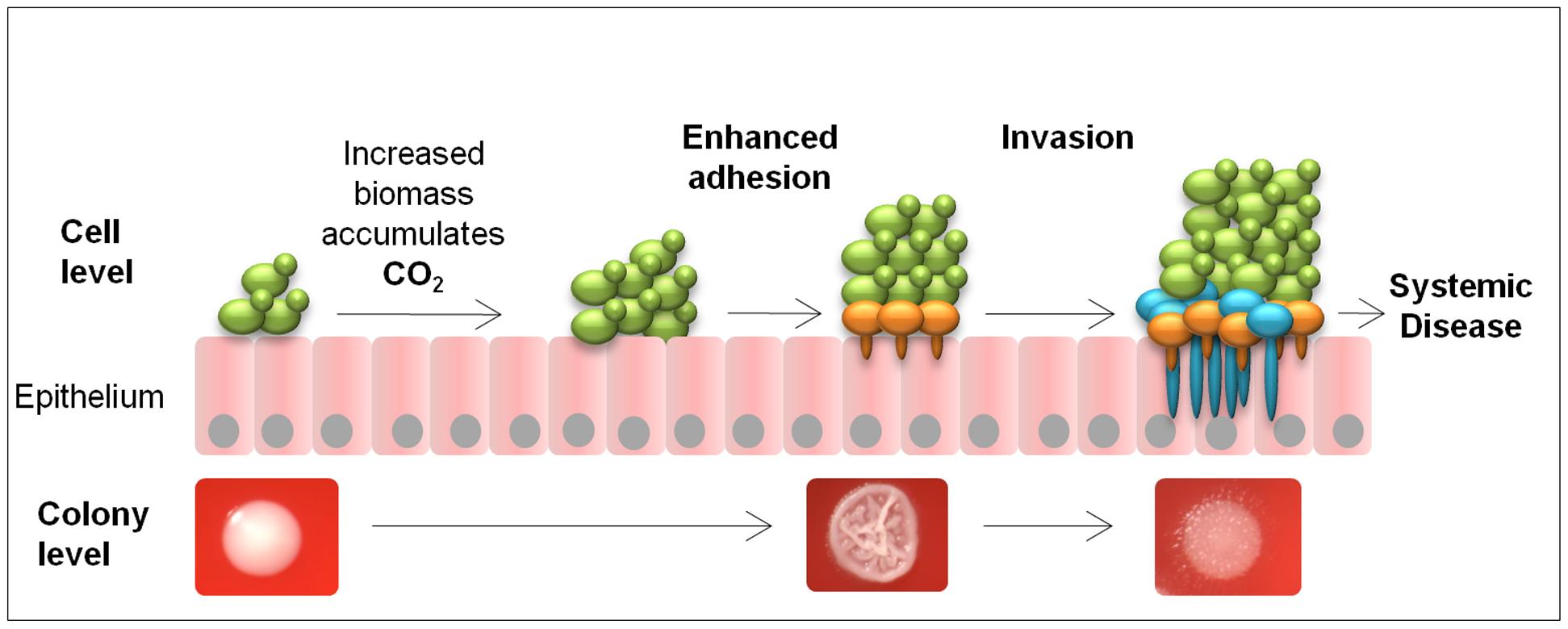 Model for metabolic CO<sub>2</sub> signalling in fungal pathogenicity.