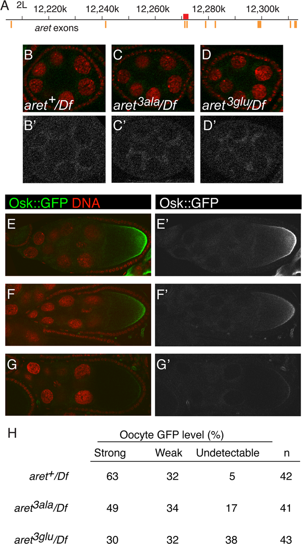 Translational repression and activation in <i>aret</i> mutants.