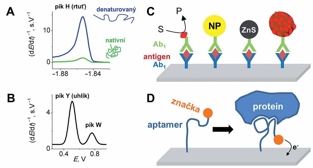 Elektrochemická analýza bílkovin.  A–B. Vlastní elektroaktivita bílkovin bez nutnosti externího značení na rtuťových (A) a uhlíkových (B) elektrodách. Rtuťové elektrody poskytují elektrokatalytický pík H a jsou vhodné pro rozlišení strukturních změn v bílkovinách (např. denaturace). Uhlíkové elektrody umožňují sledování oxidace tyrozinu (pík Y) a tryptofanu (pík W) u kratších peptidů (v případě proteinů obvykle dochází ke spojení obou píků do jednoho). C. Různé druhy imunosenzorů s imobilizovanou primární protilátkou a hledaným antigenem. Liší se ve způsobu amplifikace signálu přidáním sekundární protilátky značené např. (zleva doprava) enzymem, nanočásticí (NP), kvantovou tečkou, magnetickou kuličkou pokrytou množstvím enzymových molekul, atd. D. Konstrukce aptasenzoru využívající změnu konformace značeného aptameru po navázání proteinu, což vede k zvýšení signálu.