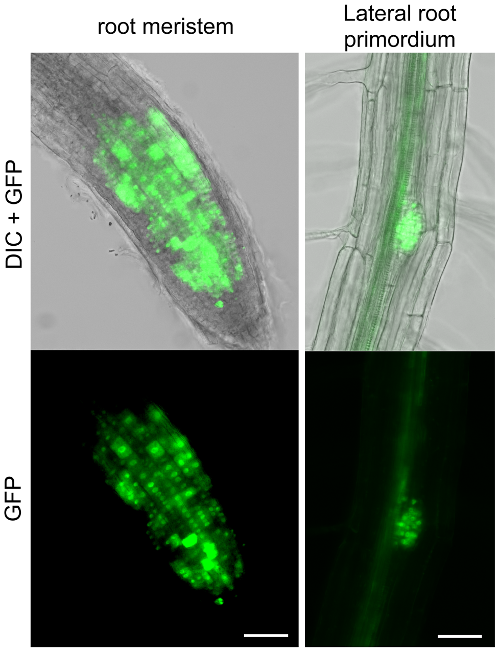 RAD51-GFP is expressed in nuclei of meristematic cells in primary and lateral roots.