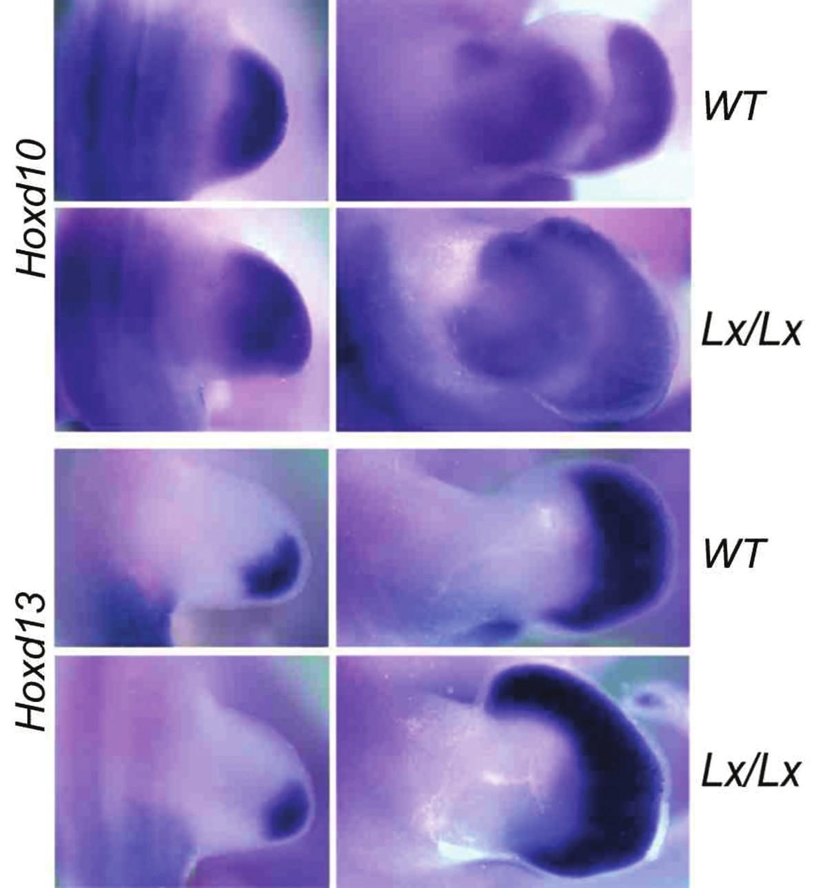 Exprese genů HOXD10 a HOXD13 v zadní končetině embrya kontrolního (WT, wild type) a polydaktylního Lx/Lx potkana ve stáří 13,5 (první vlna – vlevo) a 14,5 embryonálního dne (druhá vlna – vpravo, exprese HOX genů) Horní okraj obrázků je vždy anteriorní (palcová) strana končetiny.  Exprese HOXD genů v autopodiu kontrolního potkana nikdy nedosahuje do jeho nejpřednější části, do oblasti budoucího palce. U Lx polydaktilního potkana je ve stadiu 14,5 embryonálního dne zřetelný posun exprese těchto genů směrem k palci. Ztluštění na palcové straně vyvíjejícího se autopodia je podmíněno základem nadpočetného prstu.