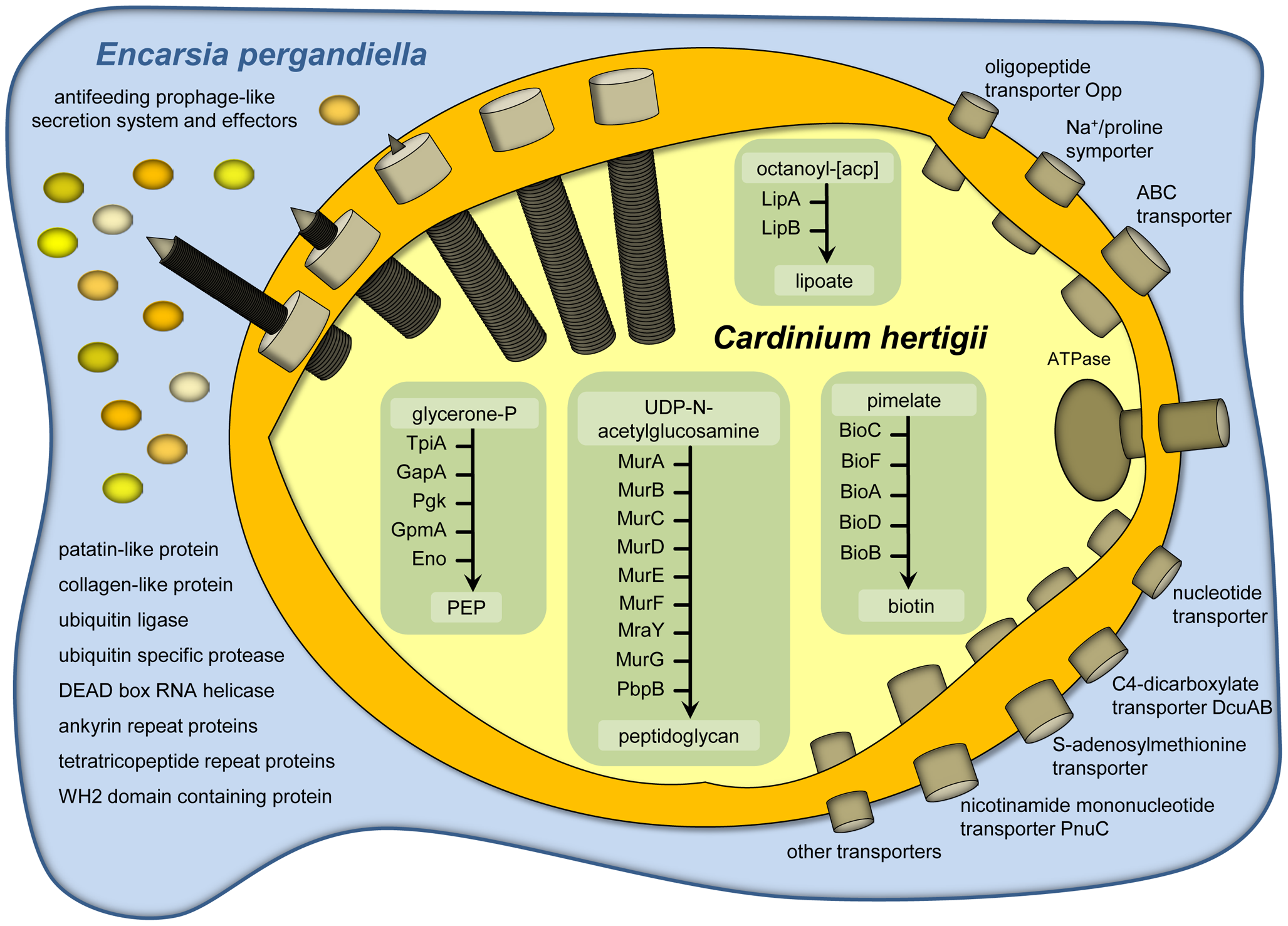 Metabolism, transport capabilities, and host cell interaction of <i>Cardinium hertigii c</i>Eper1.