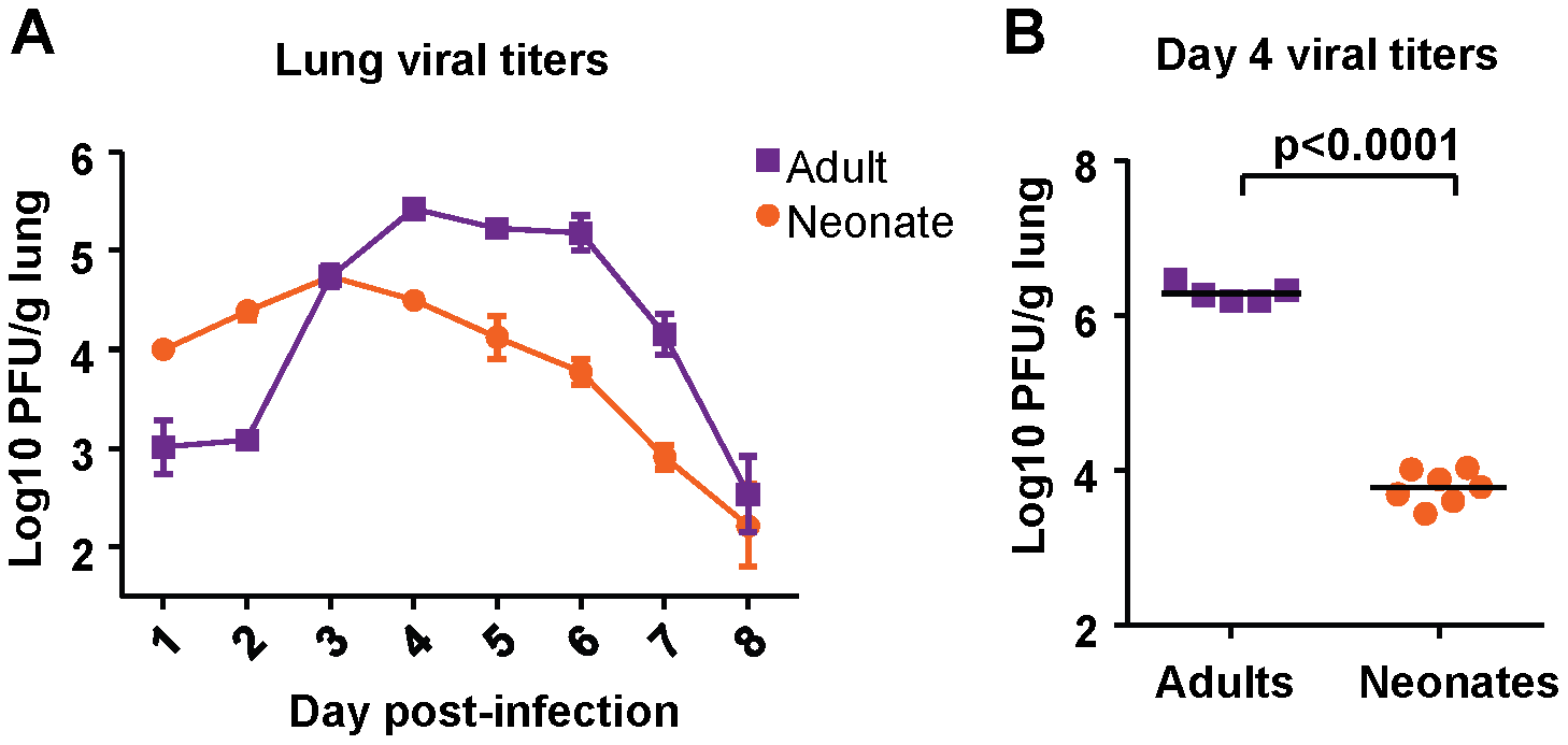 Viral titer kinetics in RSV-infected adult and neonatal mice.