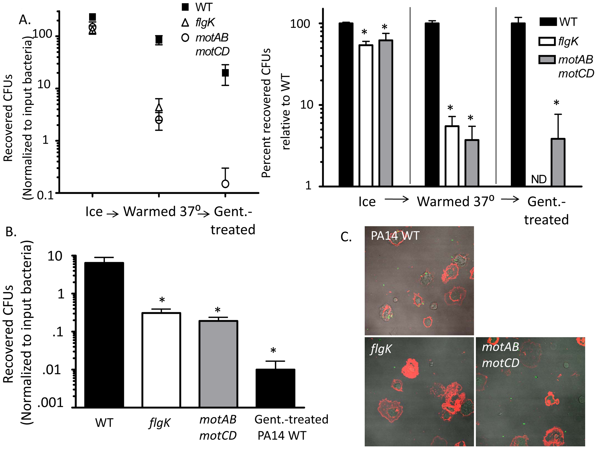 Flagellar motility enhances both the association and the uptake of bacteria by phagocytes.