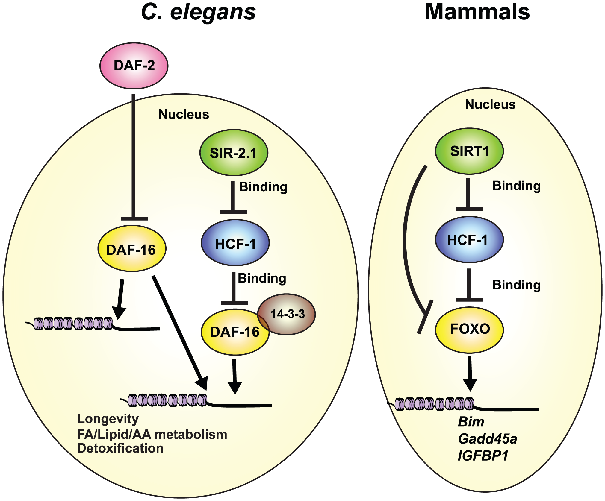 Conserved regulation of DAF-16/FOXO by HCF-1 and SIR-2.1/SIRT1.