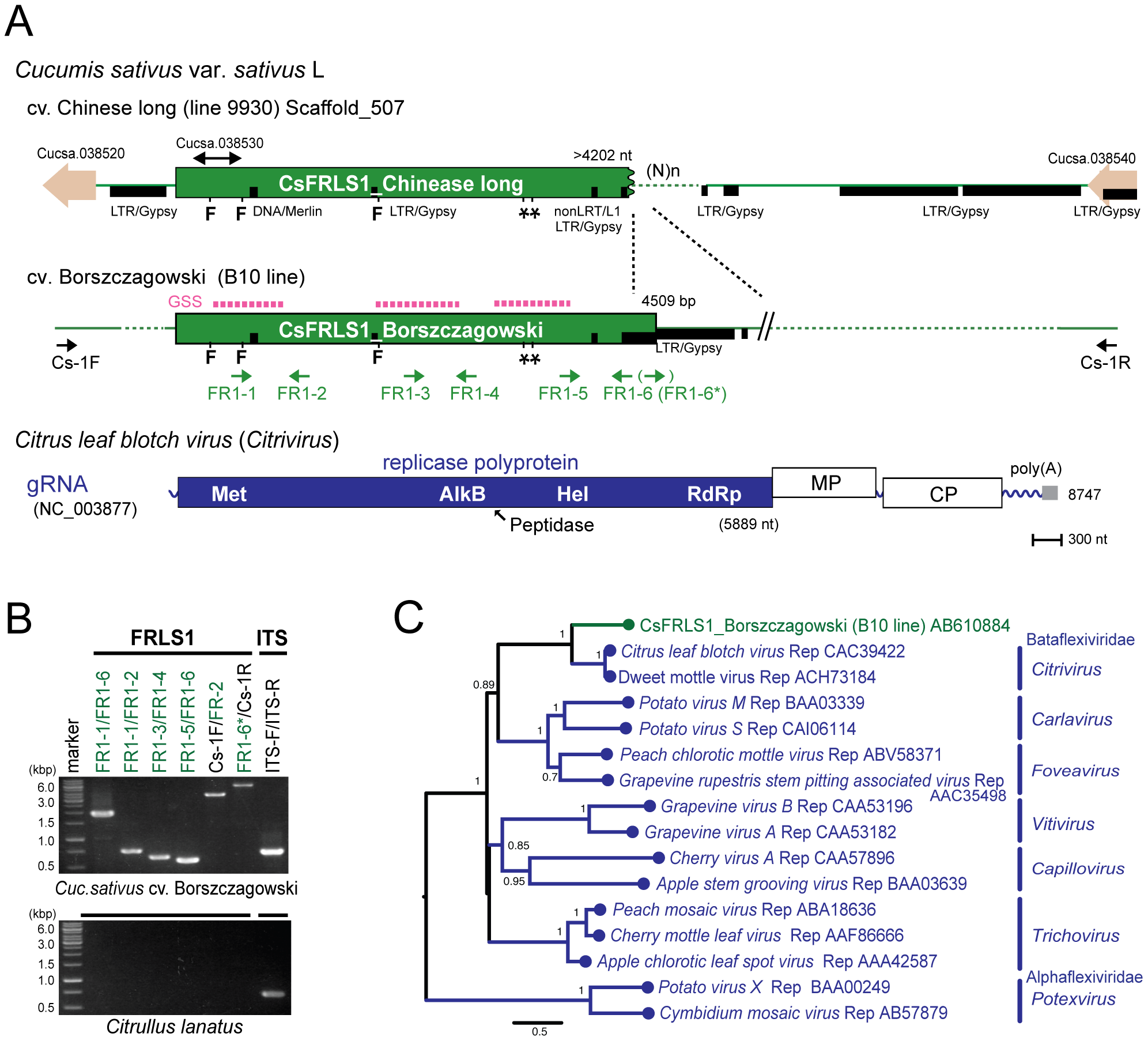 Plant genome sequence related to positive-strand RNA virus.