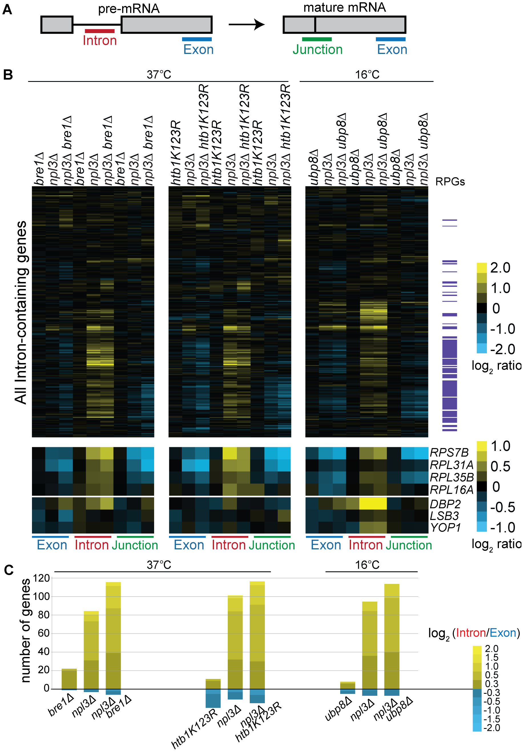 Splicing is sensitive to Npl3 and the H2B ubiquitination cycle.