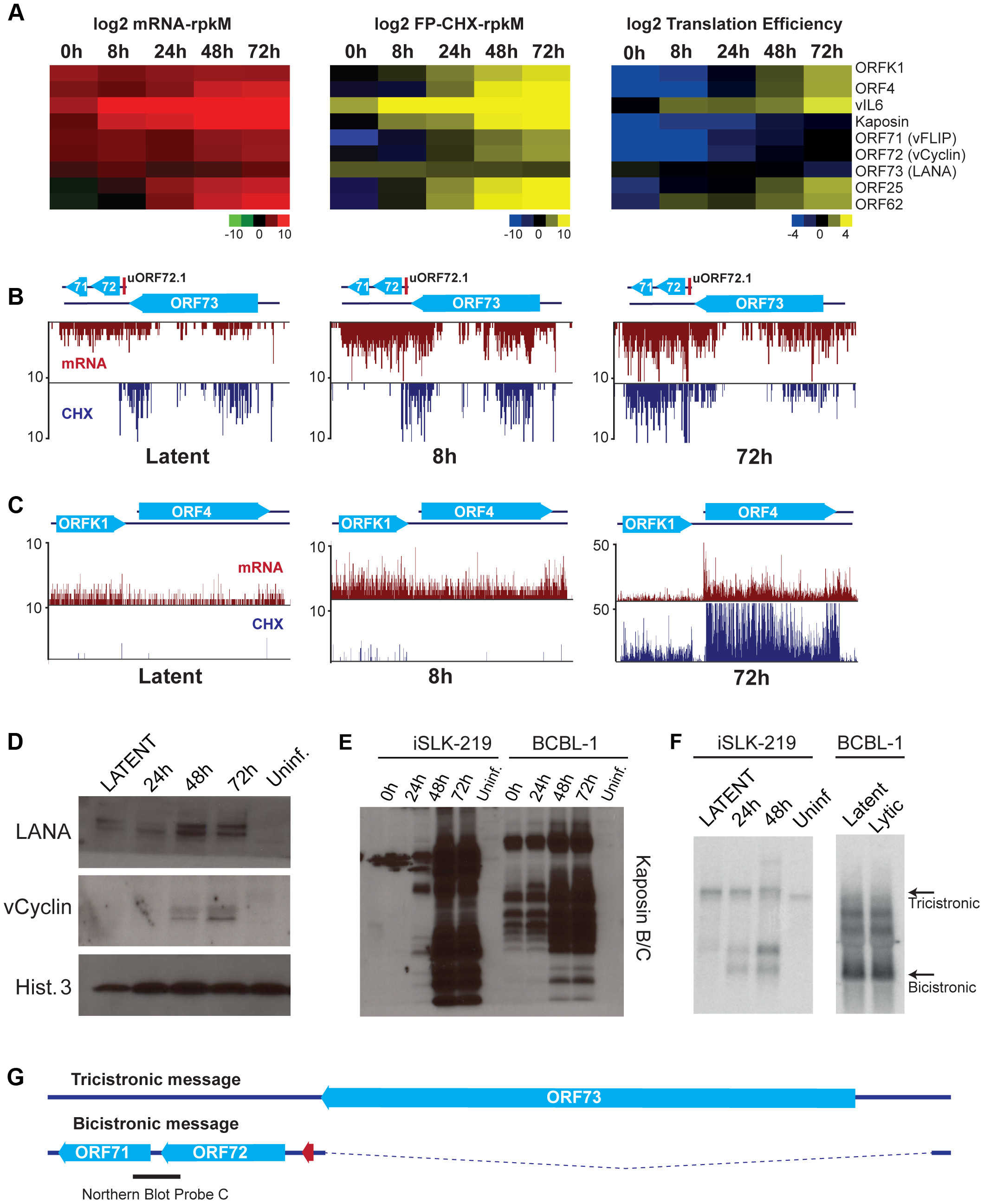 Gene expression is limited during latency in iSLK-219 cells.