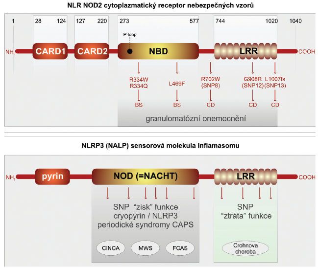 Receptory NLR, jejich polymorfismus a funkce