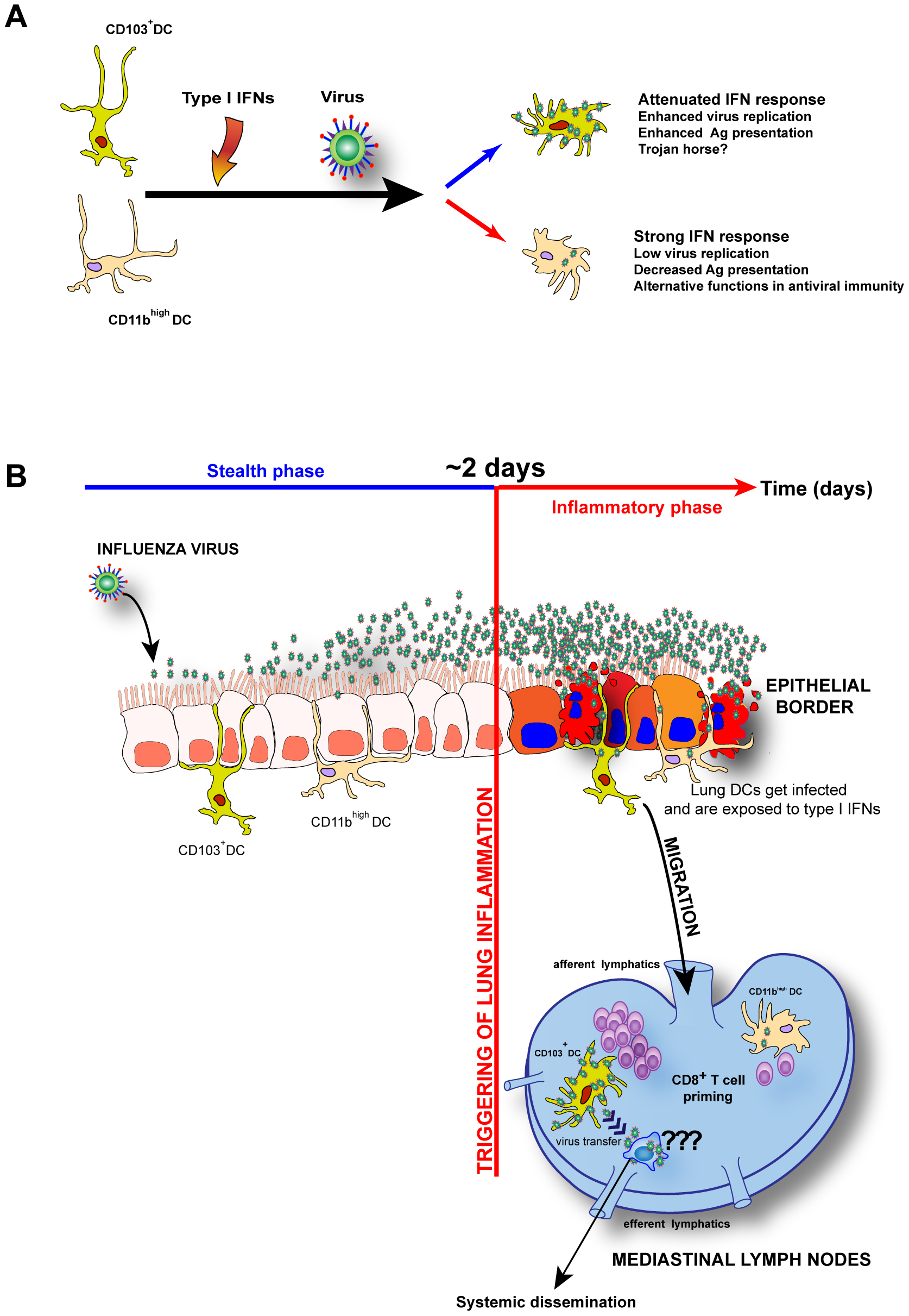 Model: Unique I-IFNs responses determine the functional fate of migratory lung DCs during respiratory virus infection.