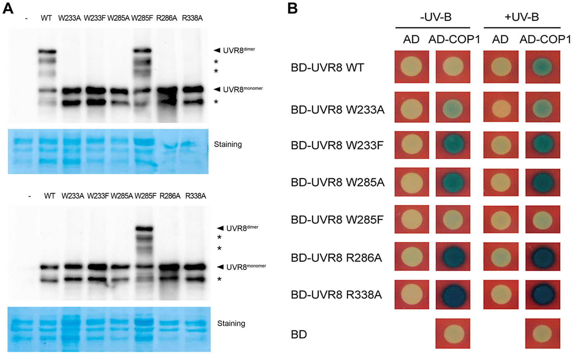 UVR8 variants display altered interaction with COP1 in yeast.