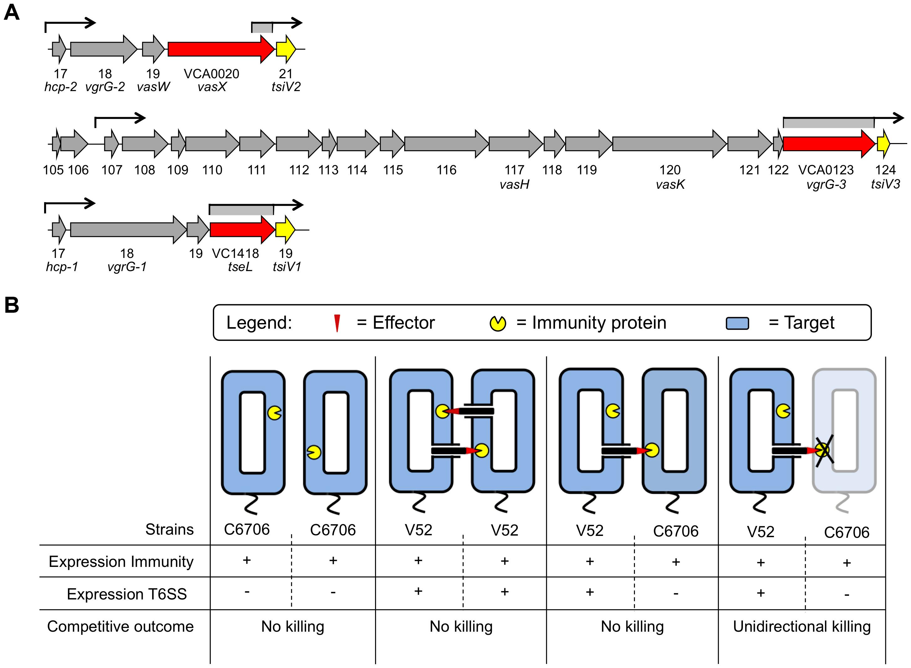 Dual regulatory profile of T6SS immunity protein-encoding genes.