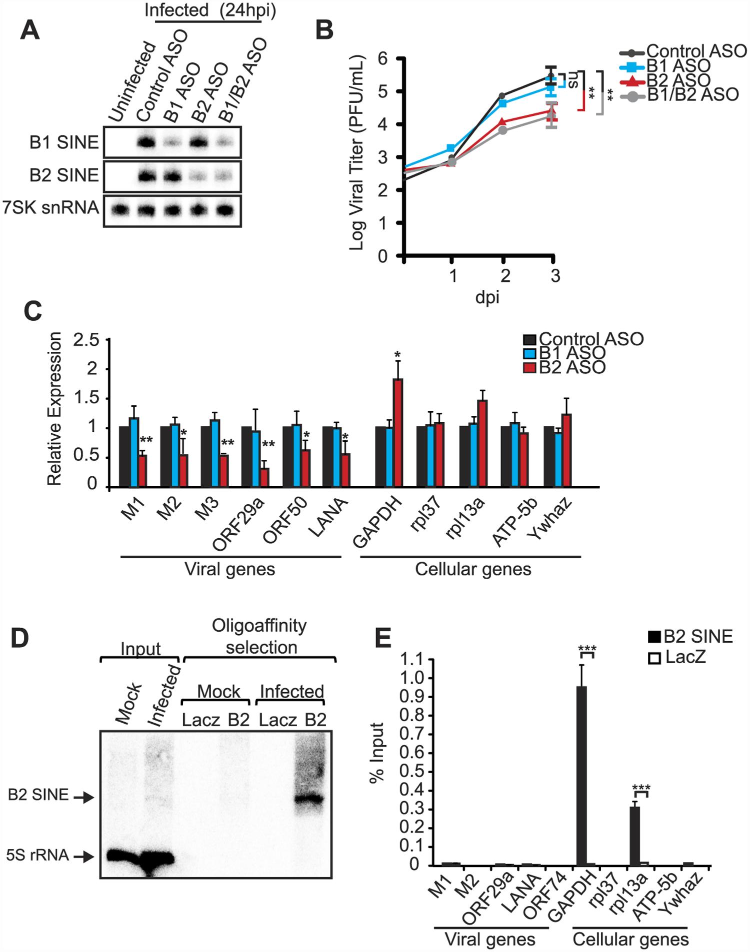 B2 RNA enhances viral replication and gene expression.