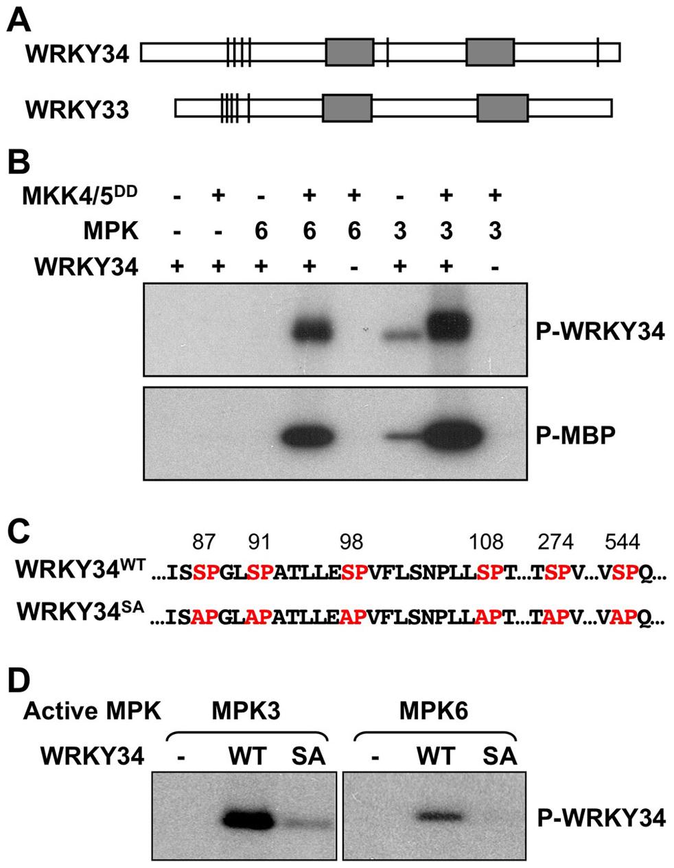 <i>In vitro</i> phosphorylation of WRKY34 by MPK3 and MPK6.