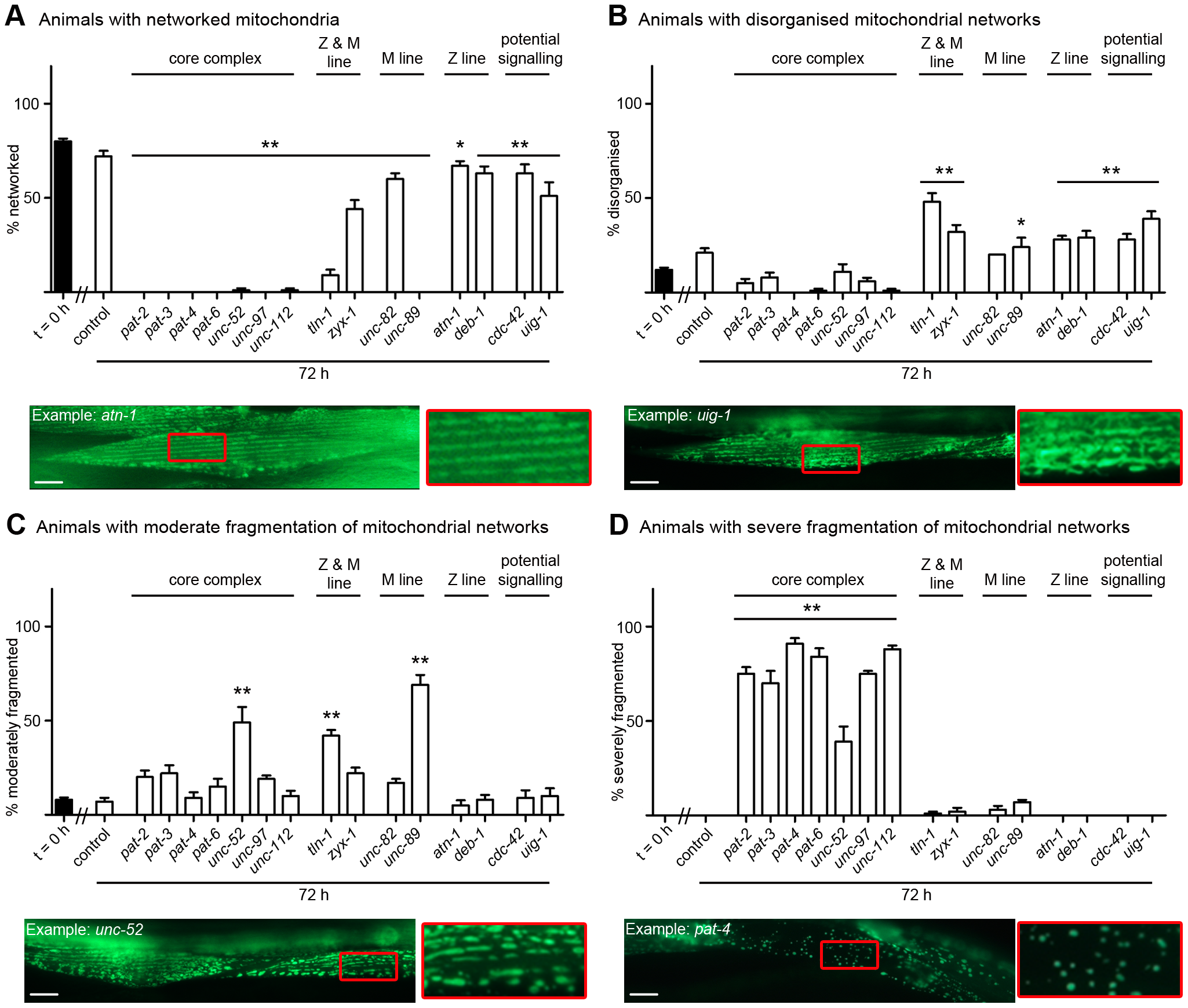 Loss of muscle attachment results in mitochondrial fragmentation.