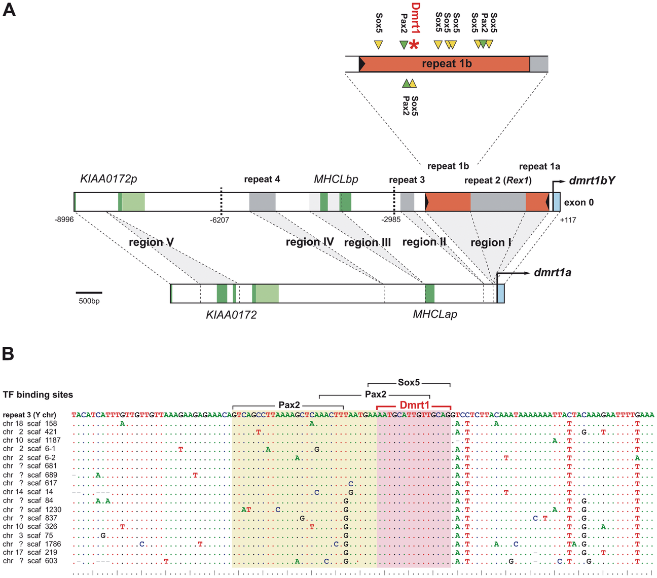 Comparative analysis of the <i>dmrt1bY</i> promoter and its transcription factor binding sites.