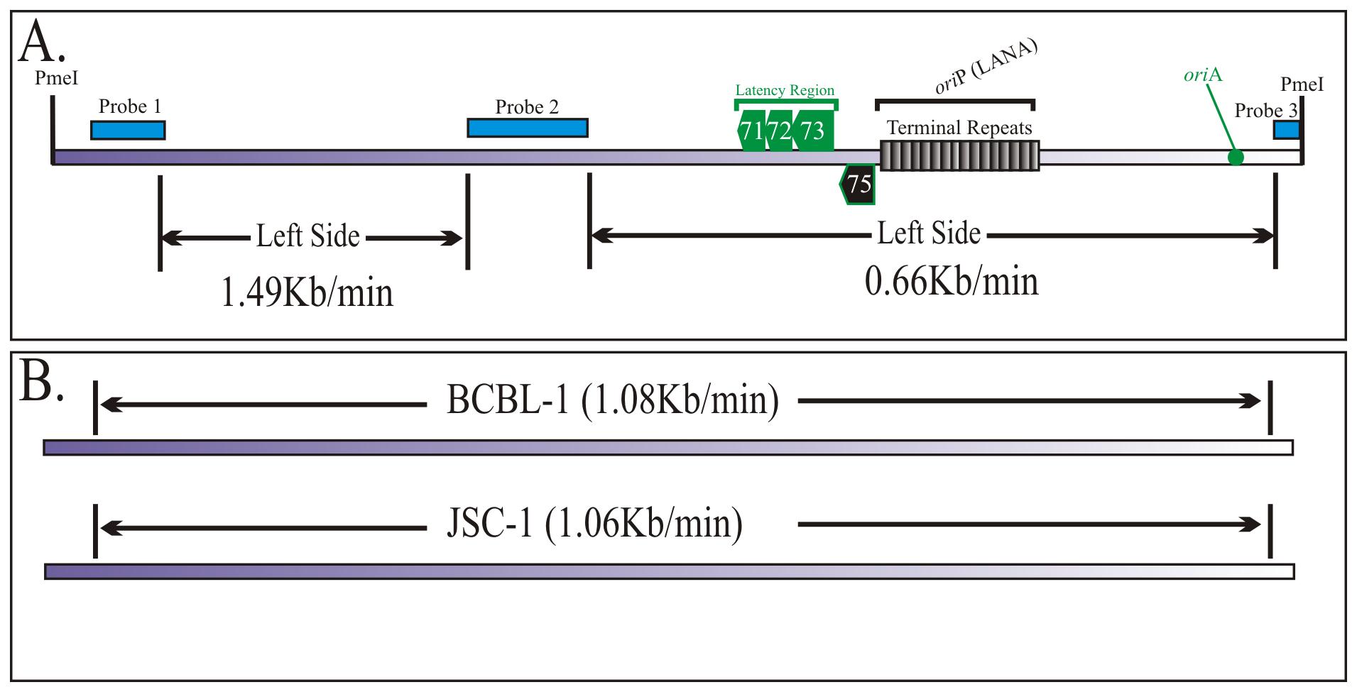 Duplication speed of JSC-1 KSHV genome.
