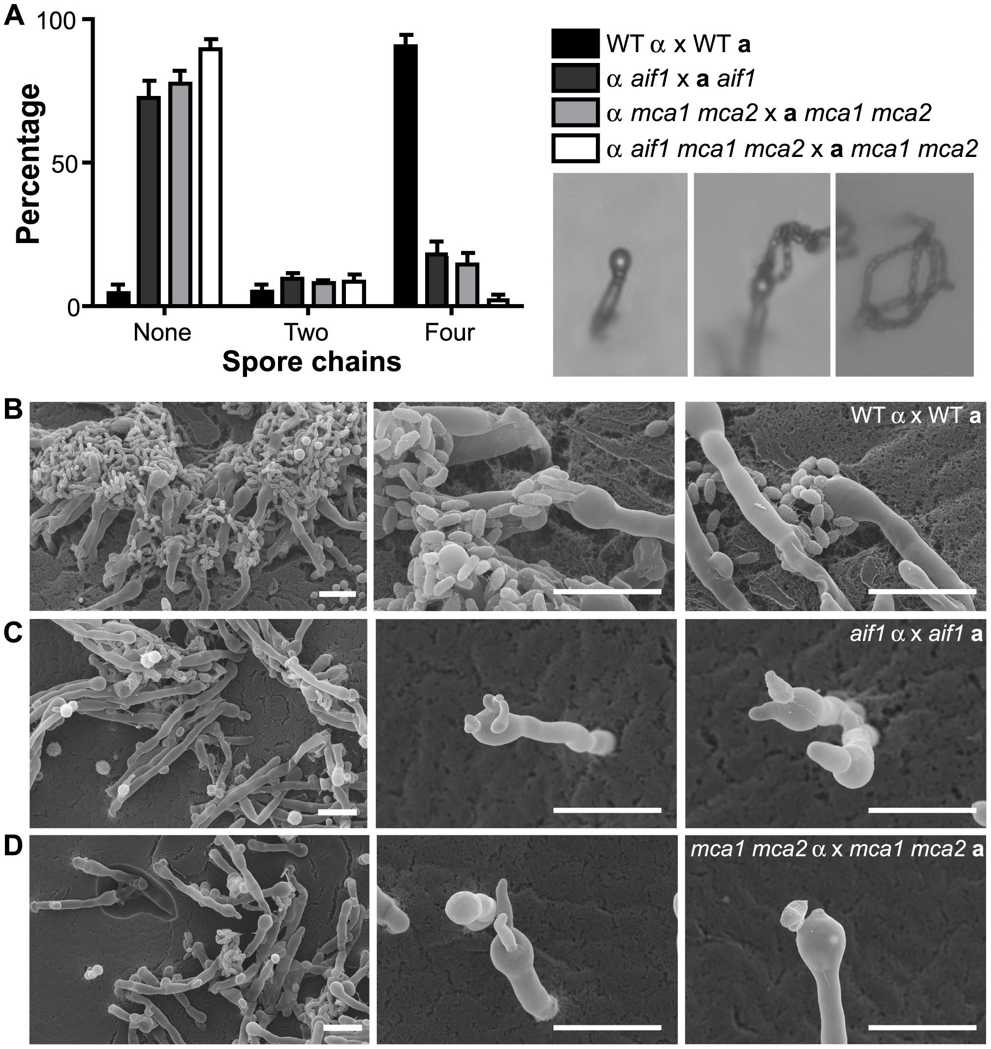 Apoptotic-defective mutants show defective basidiospore formation. A