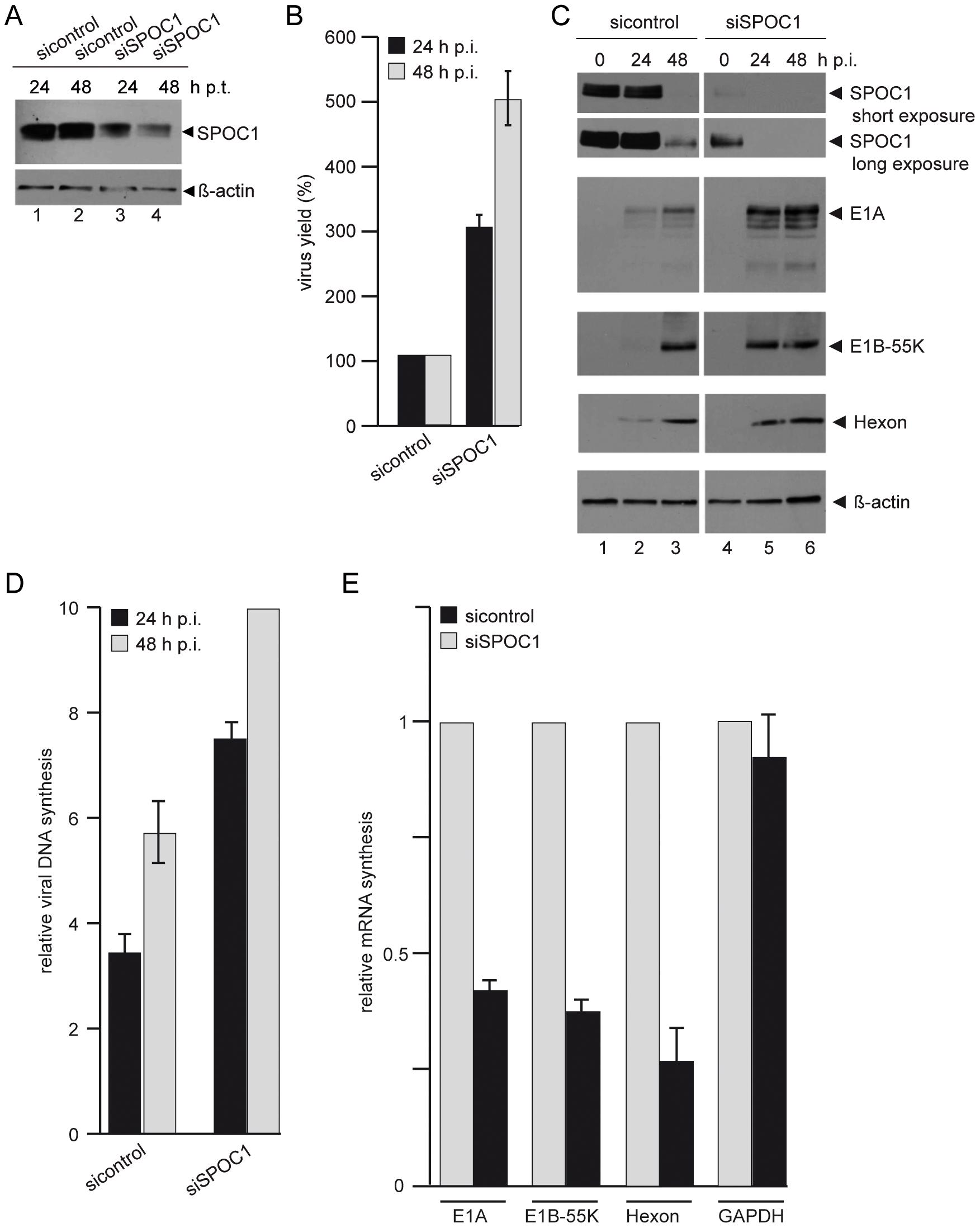 SPOC1 depletion enhances Ad5 gene expression.