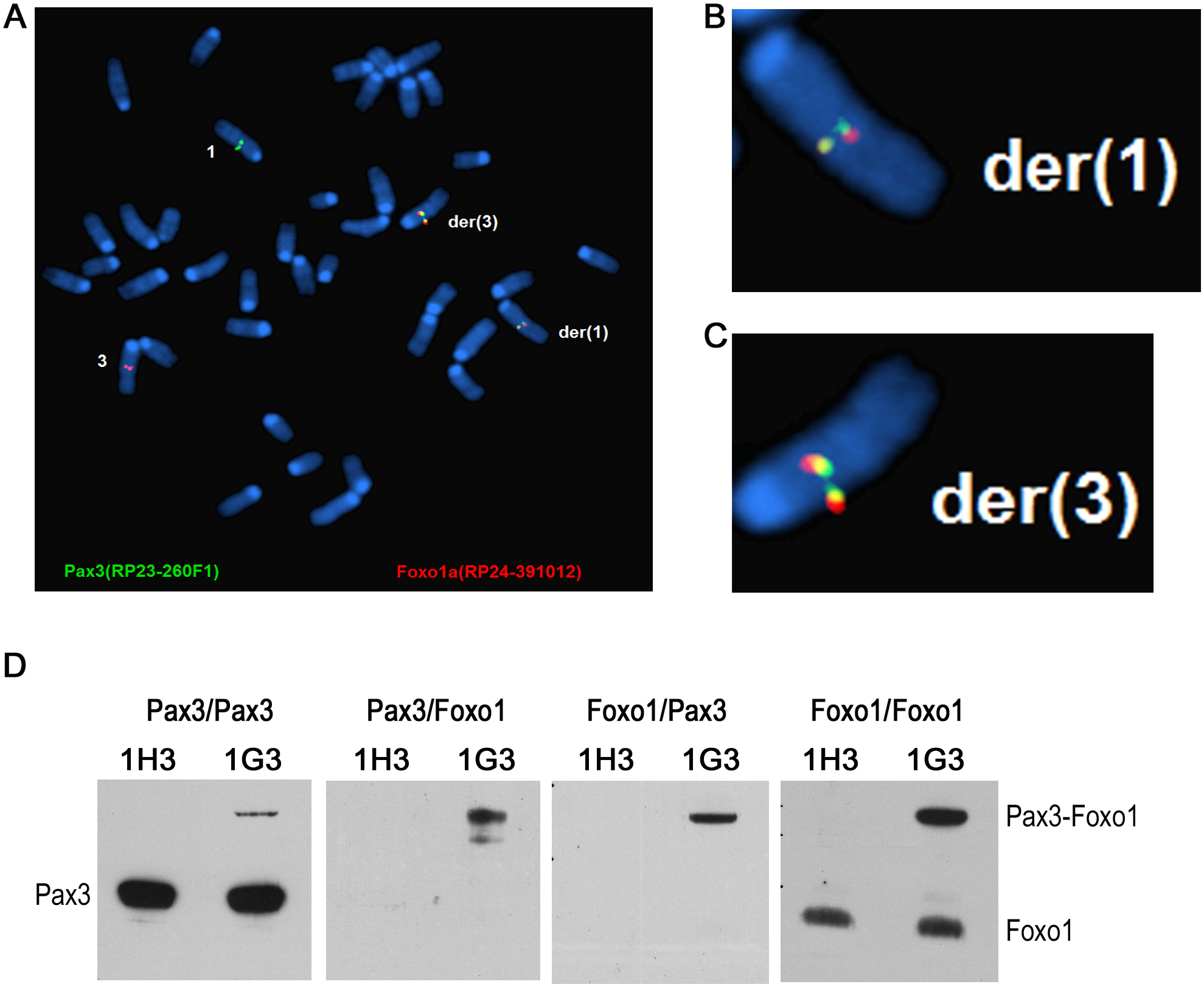The reciprocal t(1;3) in myoblasts expresses Pax3-Foxo1 protein, which upregulates target gene expression.