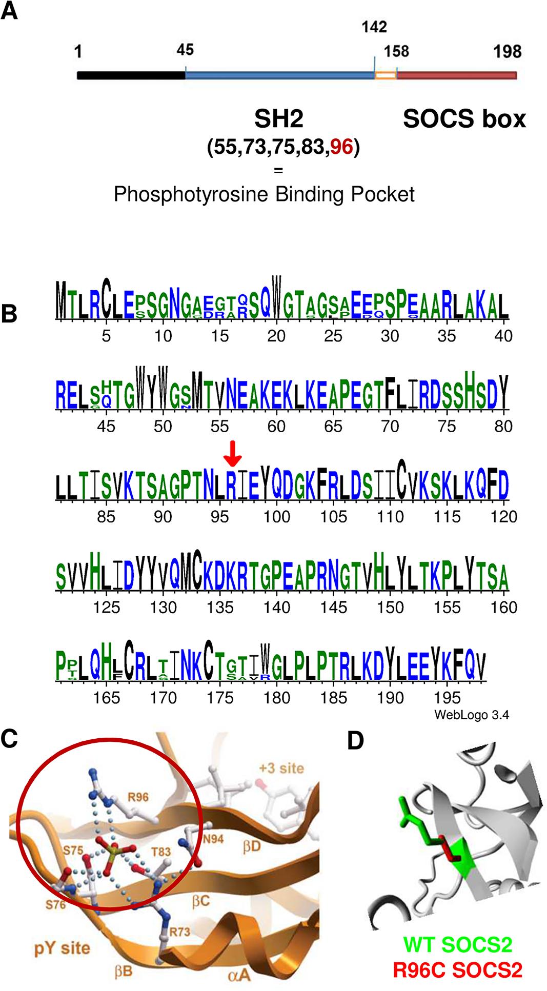 Bioinformatics characterization of <i>Socs2</i> and SOCS2 p.R96C mutation.