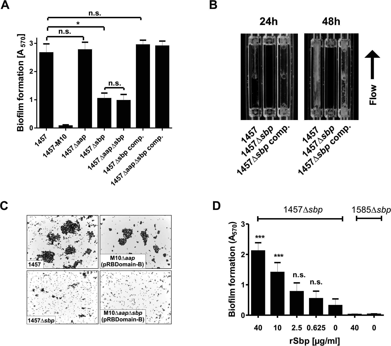 Functional role of Sbp in <i>S</i>. <i>epidermidis</i> 1457 biofilm formation.