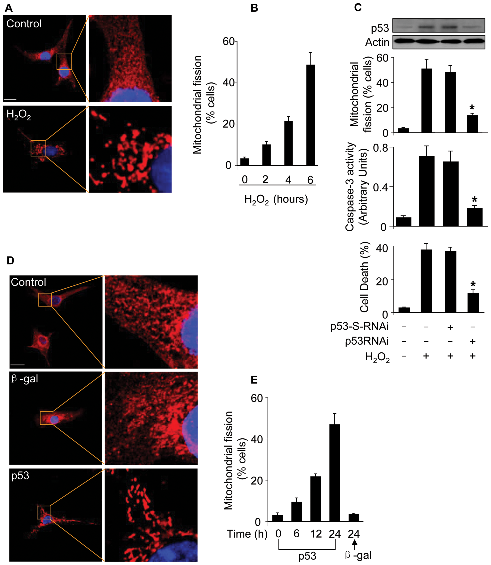 p53 induces mitochondrial fission.