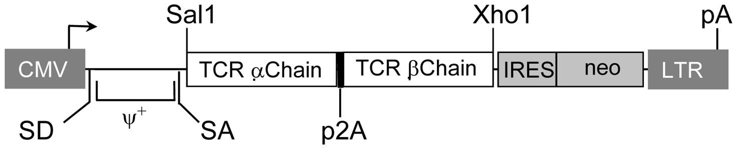 Structure of retroviral vectors used for TCR gene transfer and TCR expression on transduced cells.