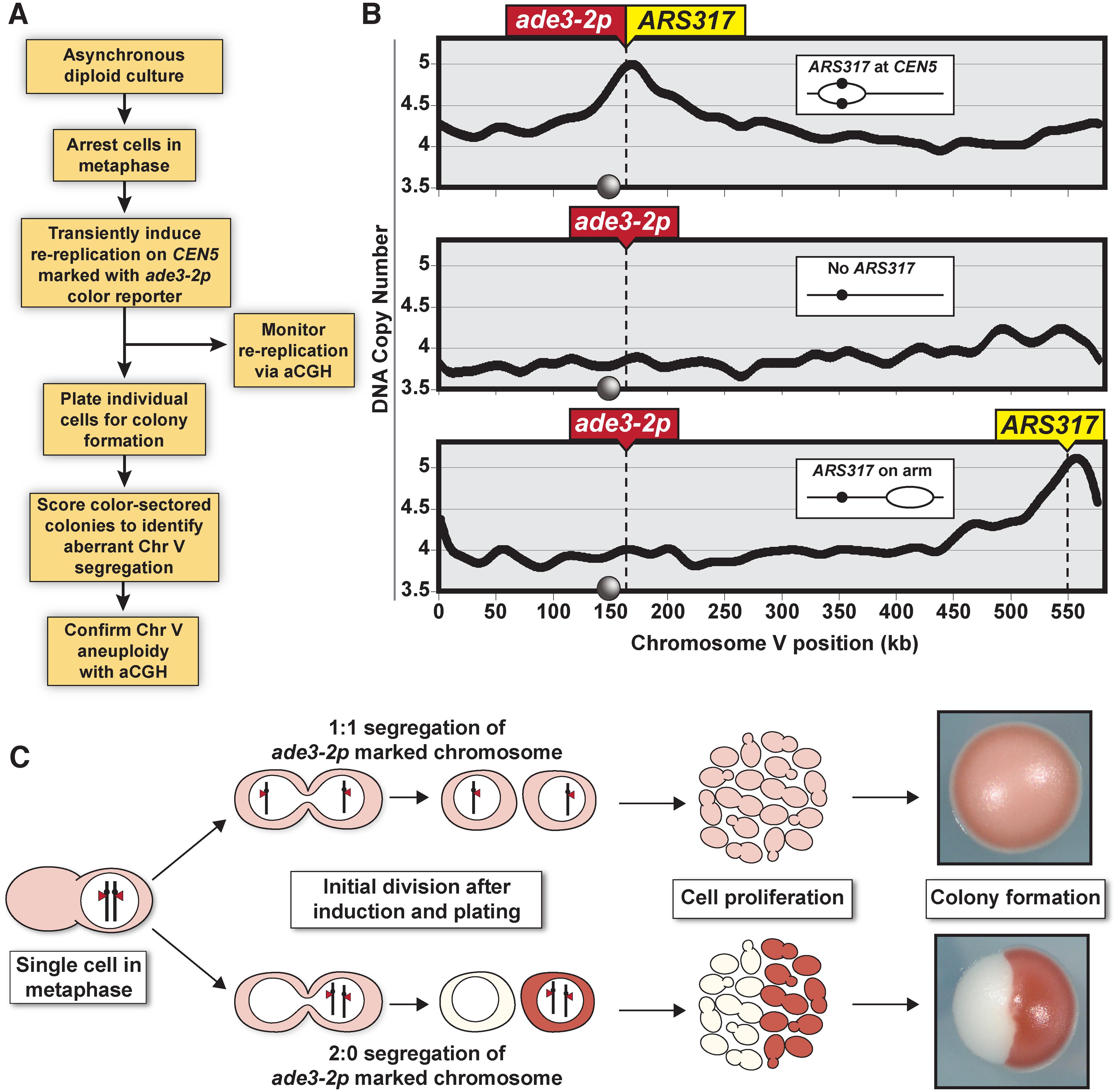 Monitoring chromosome segregation fidelity after centromeric re-replication.