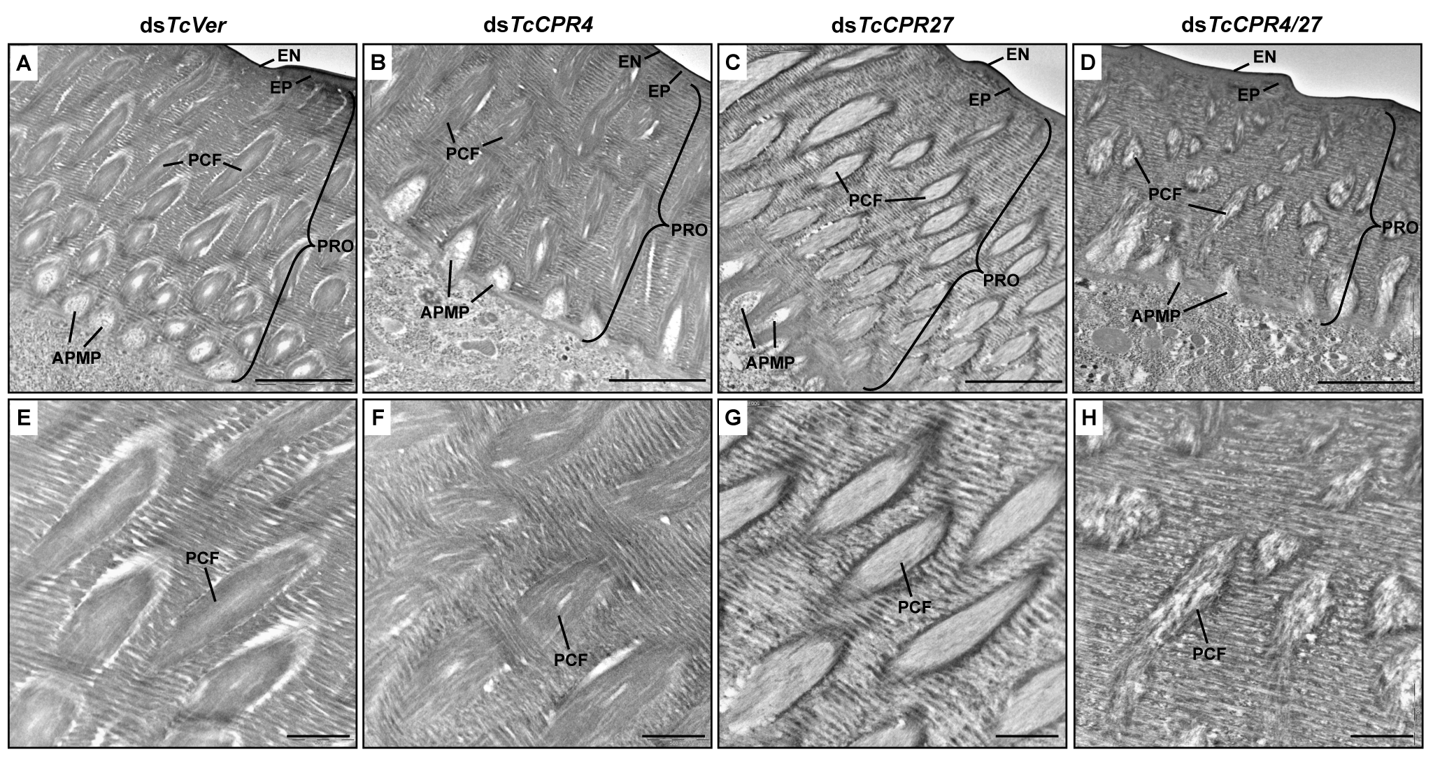 Ultrastructure of elytral cuticle of TcCPR4-, TcCPR27- and TcCPR4/27-deficient pharate adults.