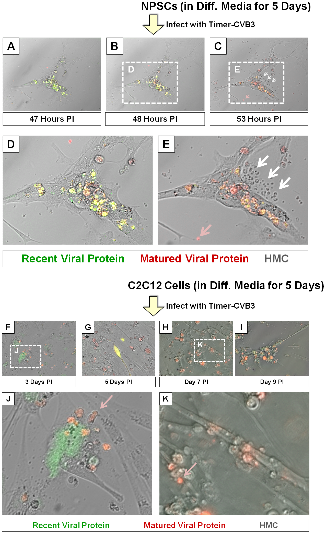 Shedding of EMVs containing viral protein following Timer-CVB3 infection of differentiated cells.