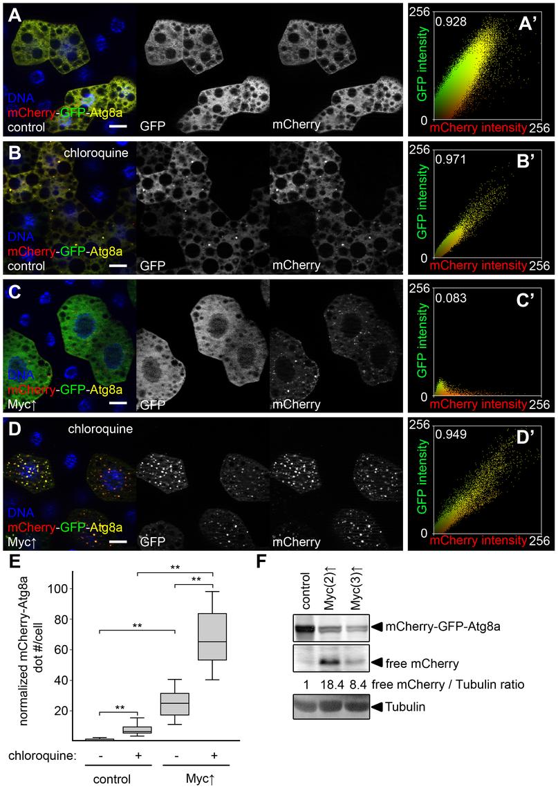 Myc increases autophagic flux.