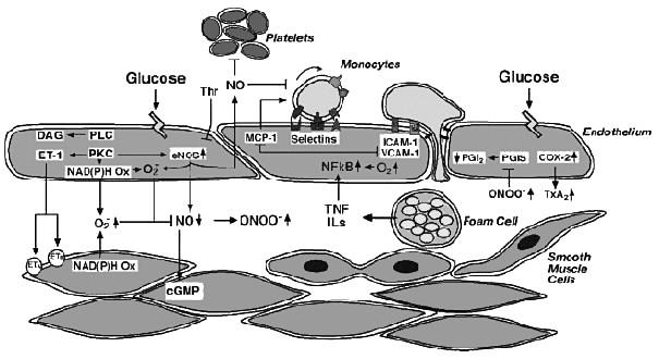 Možný mechanismus snížení (na endotelu závislé) vazodilatace při diabetes mellitus (upraveno dle 36)