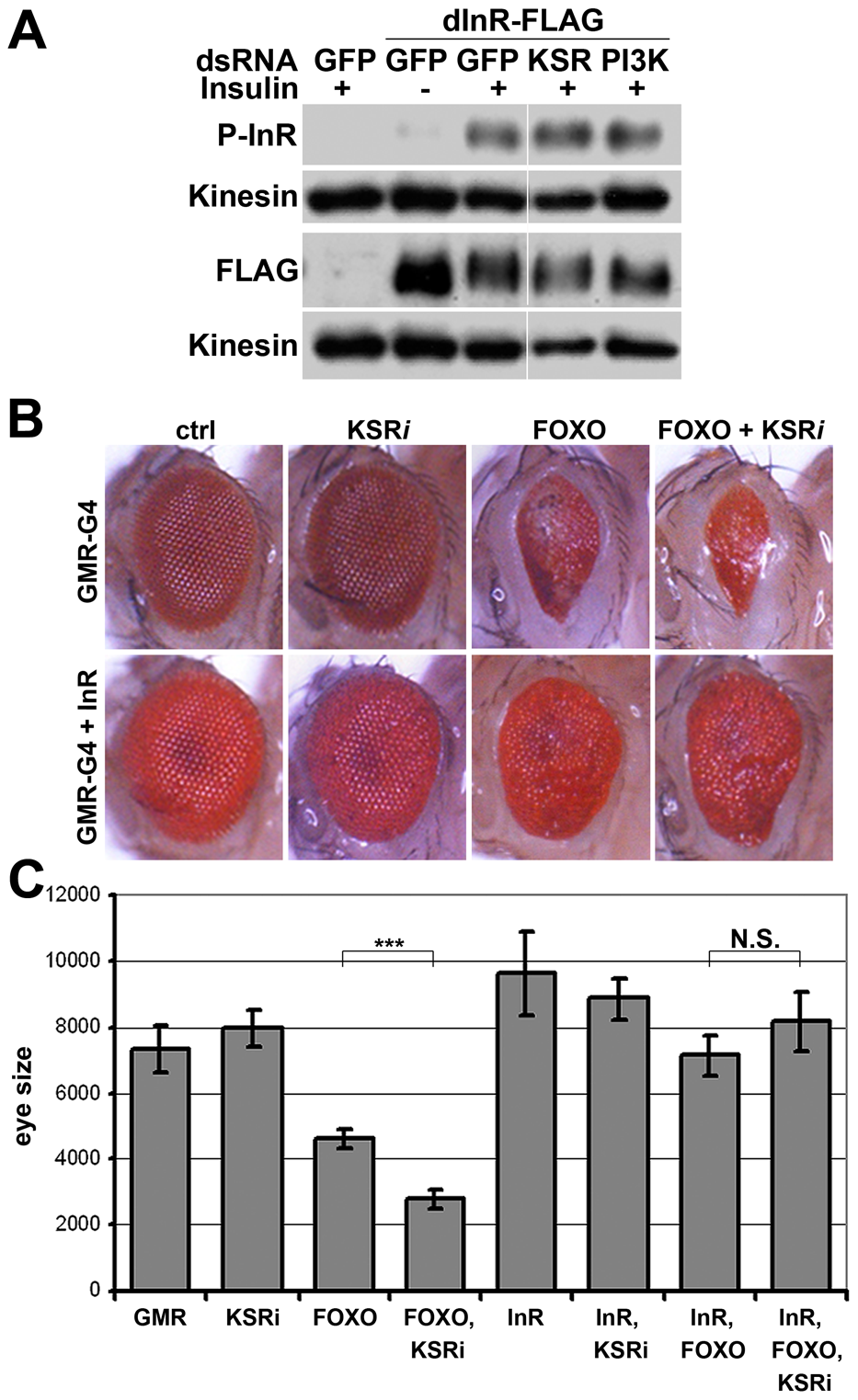 InR transgene expressed under heterologous promoter is insensitive to KSR depletion.