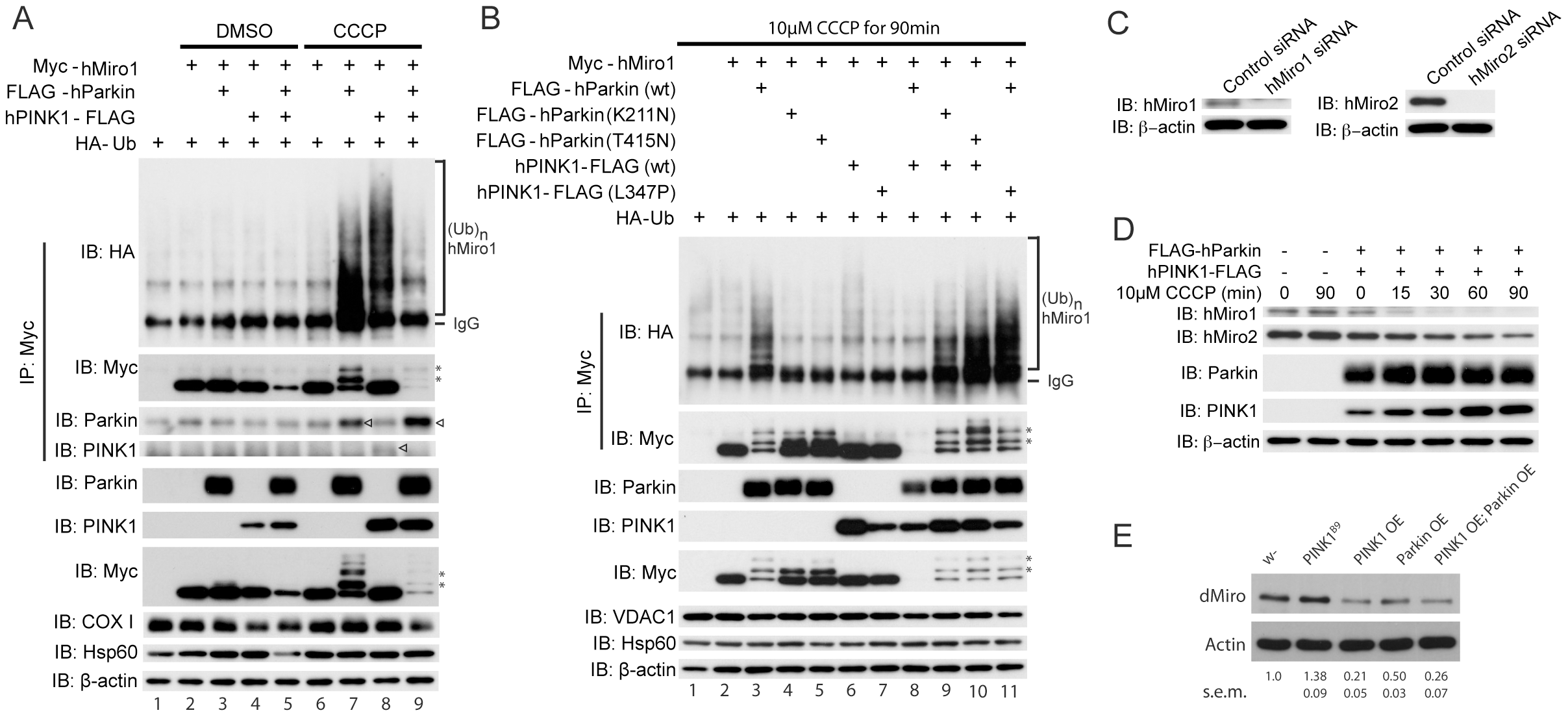 PINK1/Parkin regulates the ubiquitination and stability of Miro protein.