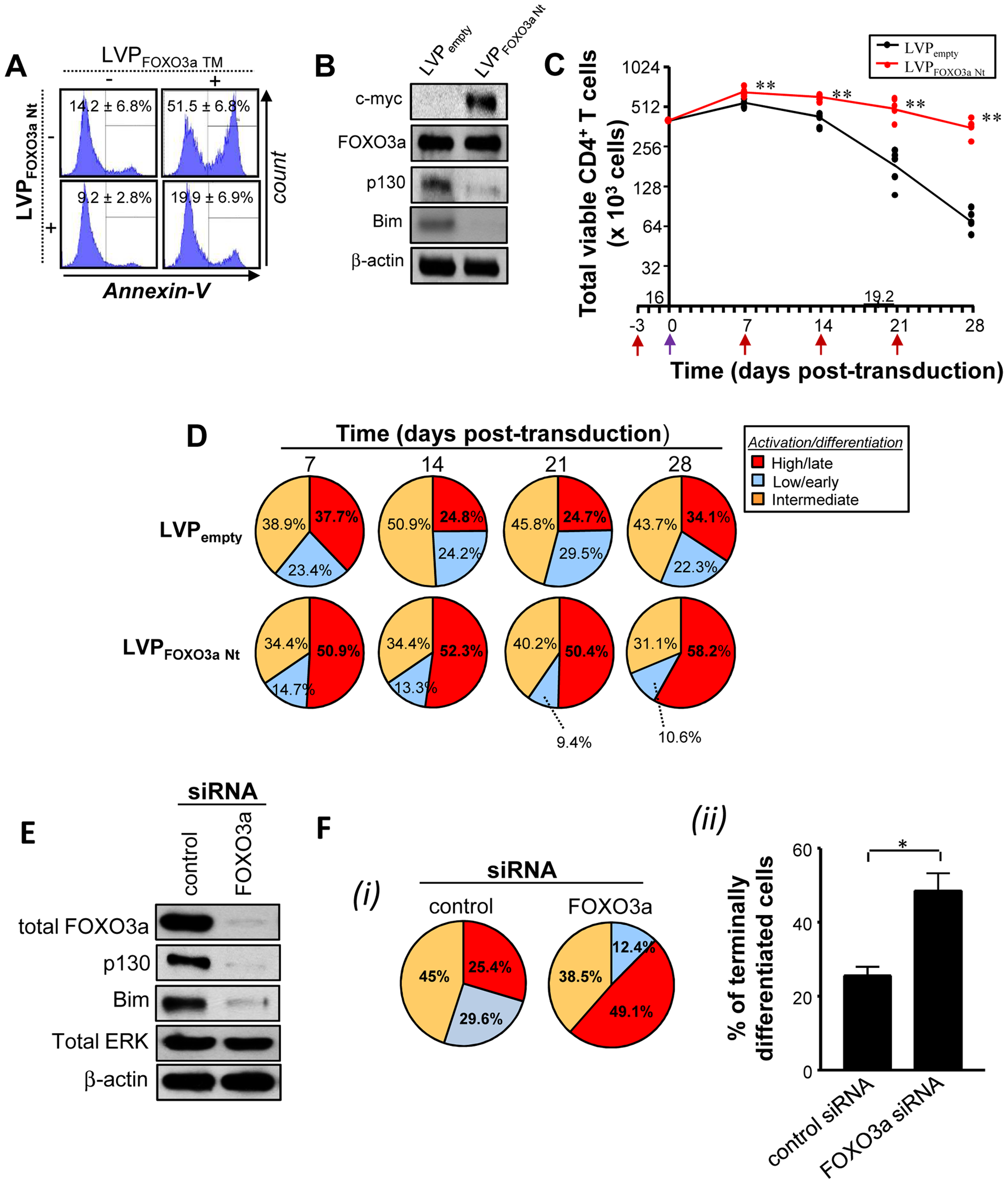 Specific inhibition of FOXO3a activity mimics Tax expression.