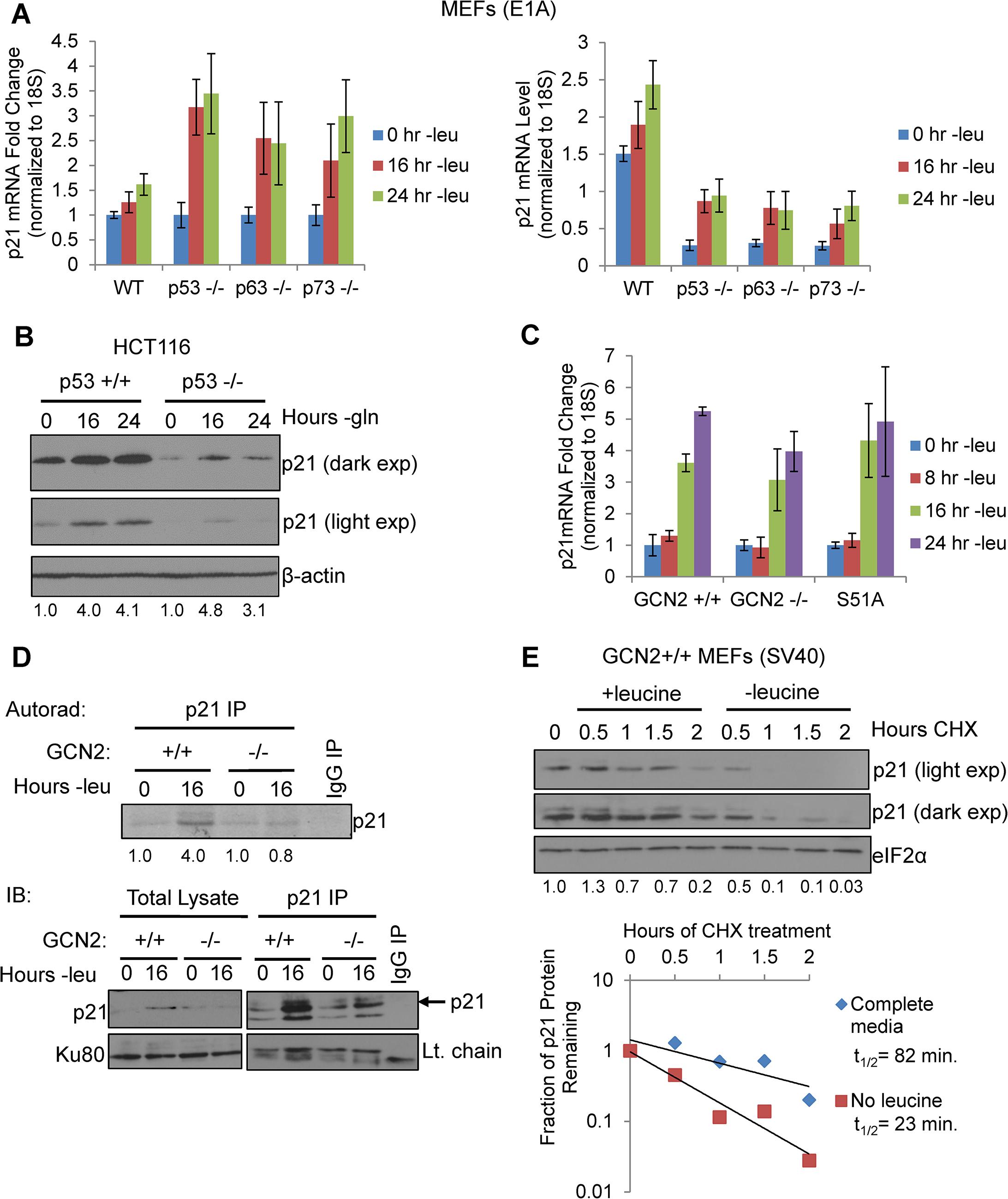 GCN2 enhances p21 translation independently of p53.