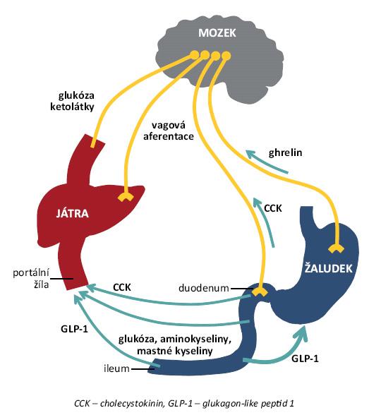 Krátkodobá regulace příjmu potravy zahrnující nutrienty, vagovou aferentaci z gastrointestinálních mechanoreceptorů a chemoreceptorů a gastrointestinální peptidy [5].