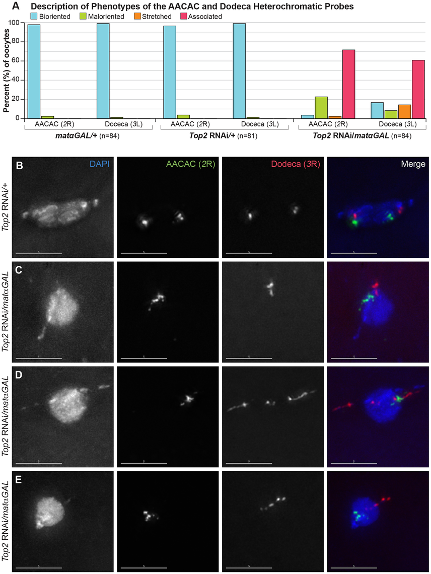 <i>Top2</i> RNAi<i>/matαGAL</i> oocytes show defects in chromosome biorientation and in the separation of heterochromatic regions of the <i>2<sup>nd</sup></i> and <i>3<sup>rd</sup></i> chromosomes.