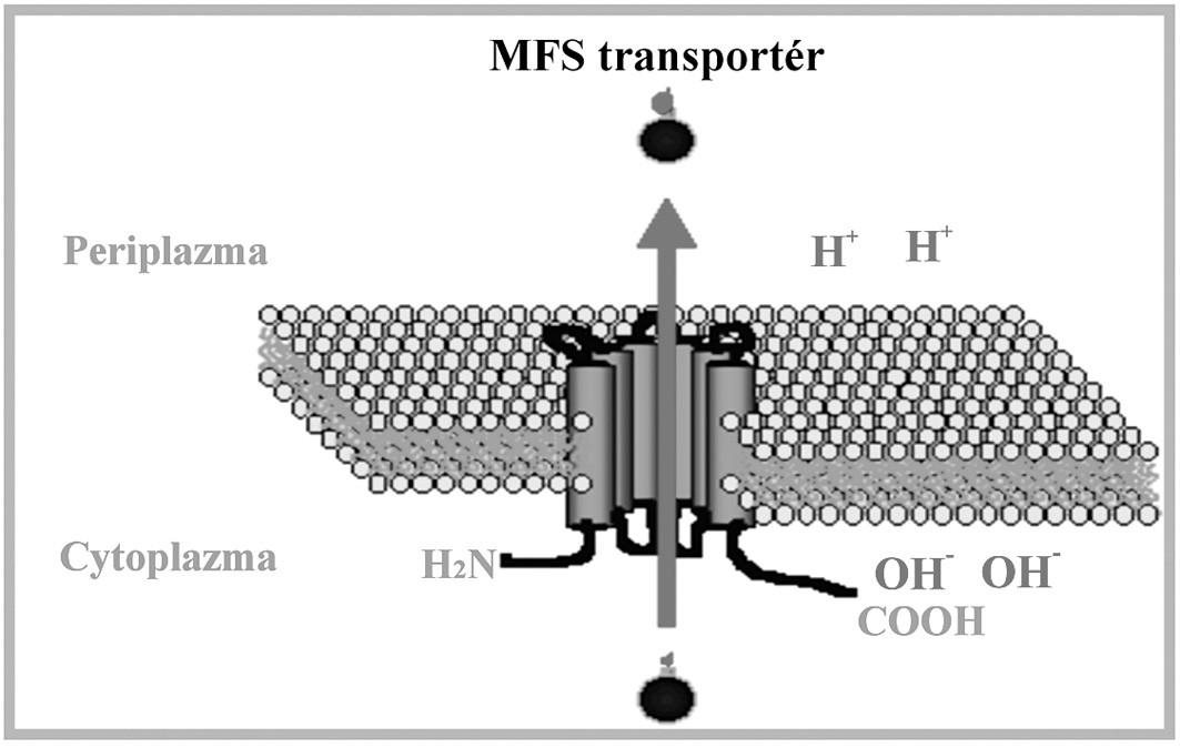"Schématické znázornenie MFS transportného systému. Upravené podľa: (<a href=""http://www.ucm.es/info/mfar/U2/antifu1.gif"">http://www.ucm.es/info/mfar/U2/antifu1.gif</a>). Fig. 3. Diagrammatic representation of the MFS transport system. Adapted from: (<a href=""http://www.ucm.es/info/mfar/U2/antifu1.gif"">http://www.ucm.es/info/mfar/U2/antifu1.gif</a>)."