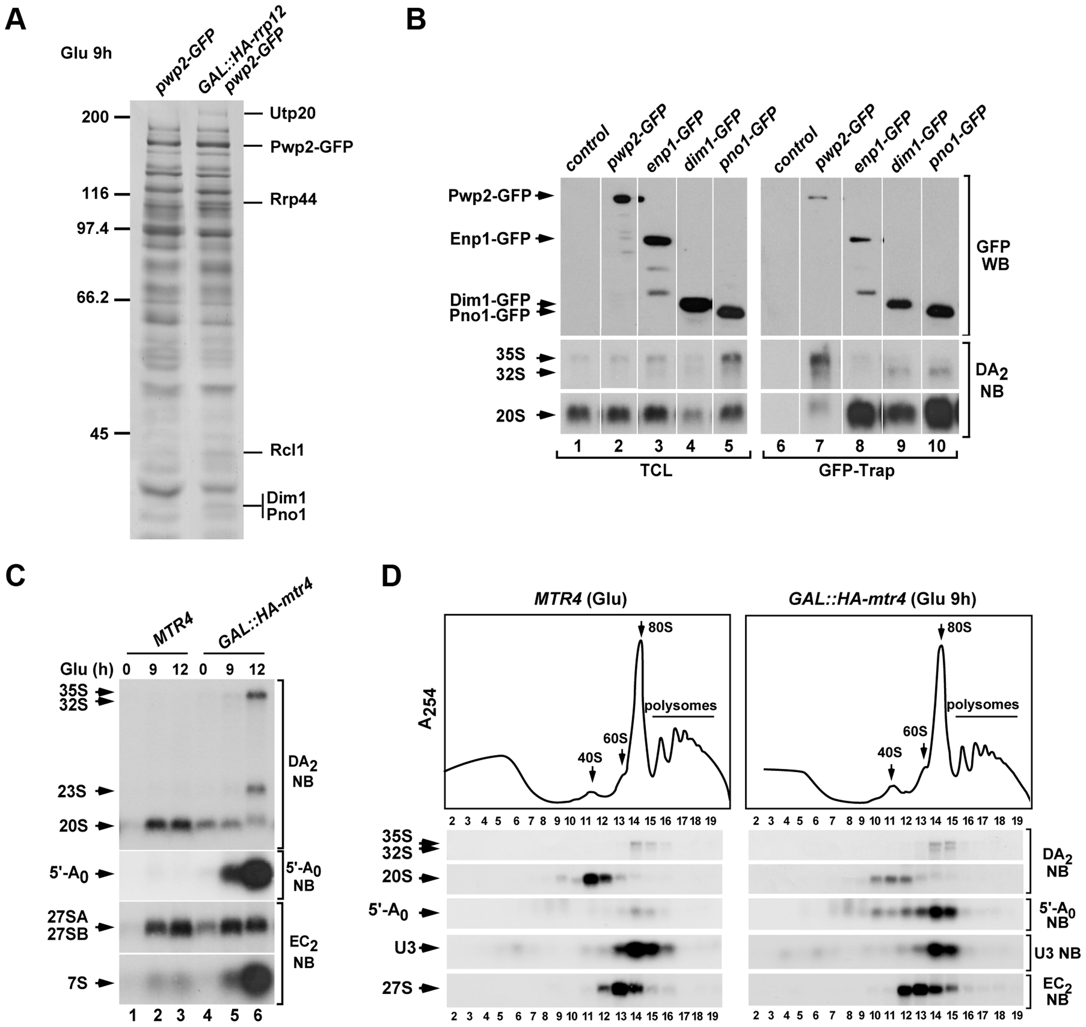 Rrp12 is required at a 90S particle-mediated maturation step that precedes exosome action.
