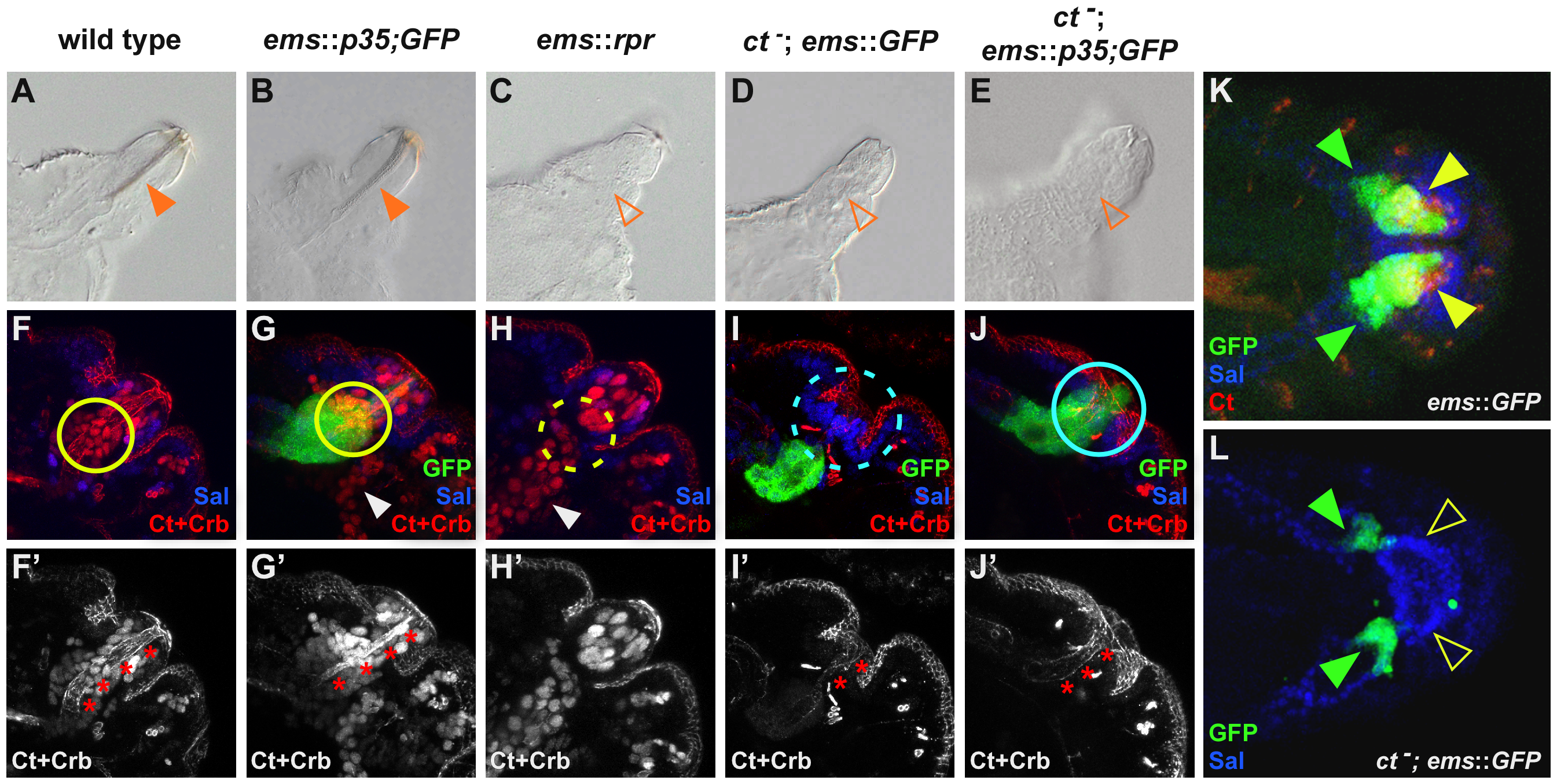 Cut-dependent repression of apoptosis is required for cell survival and differentiation.