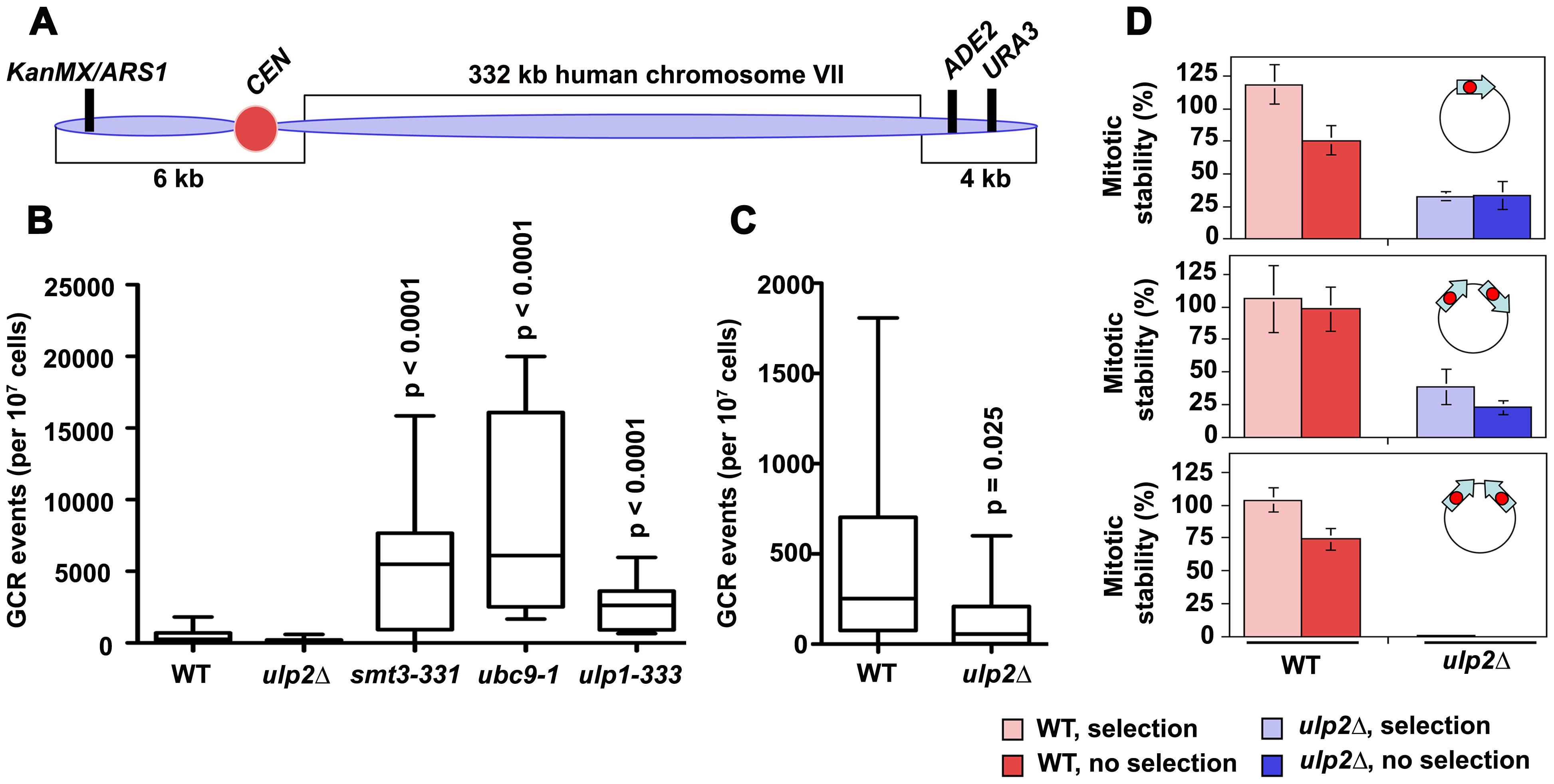Chromosome re-arrangements in <i>ulp2</i>Δ <b>mutants.</b>