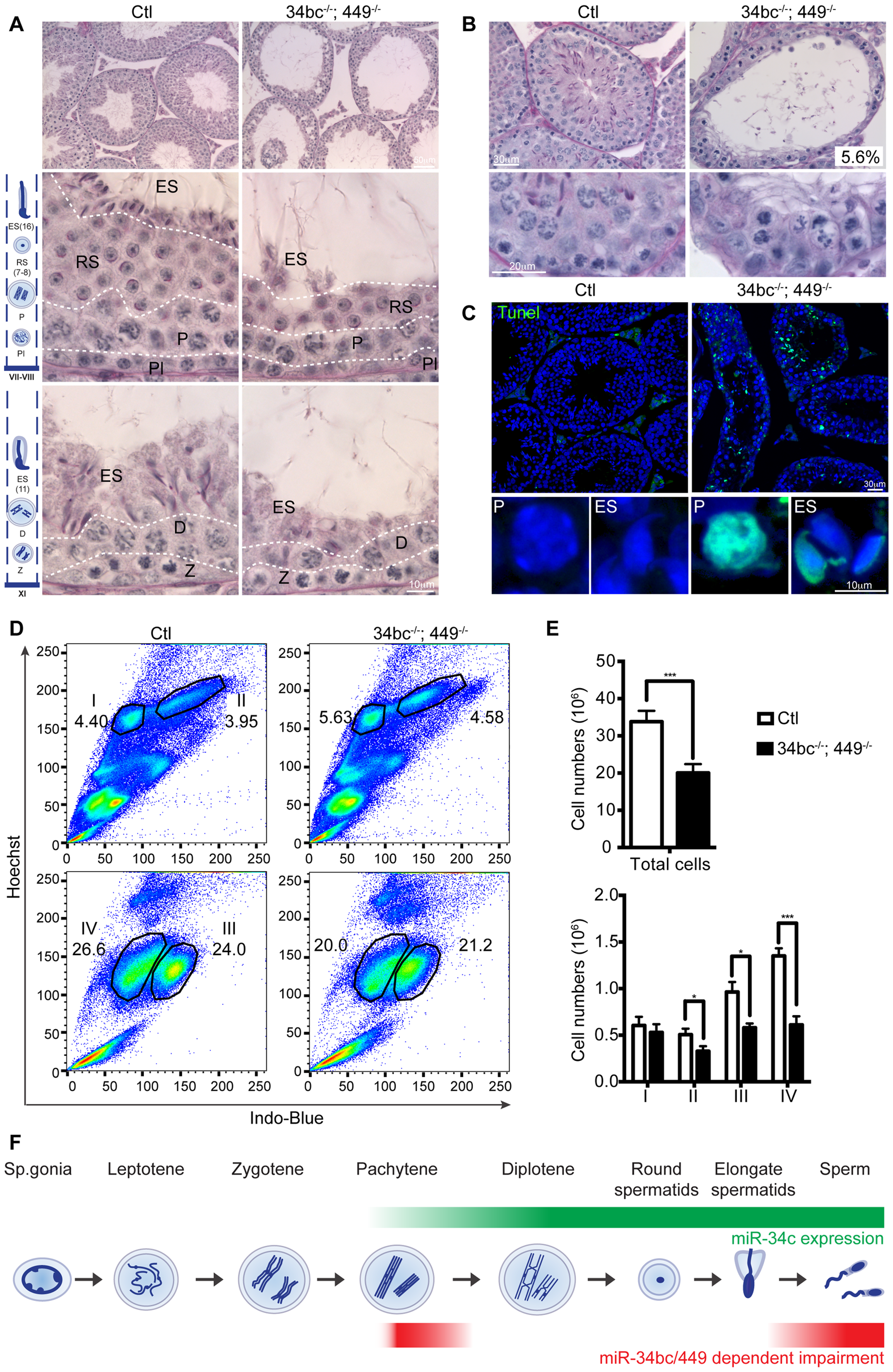 miR-34bc/449 are required for multiple stages of post-mitotic spermatogenesis.