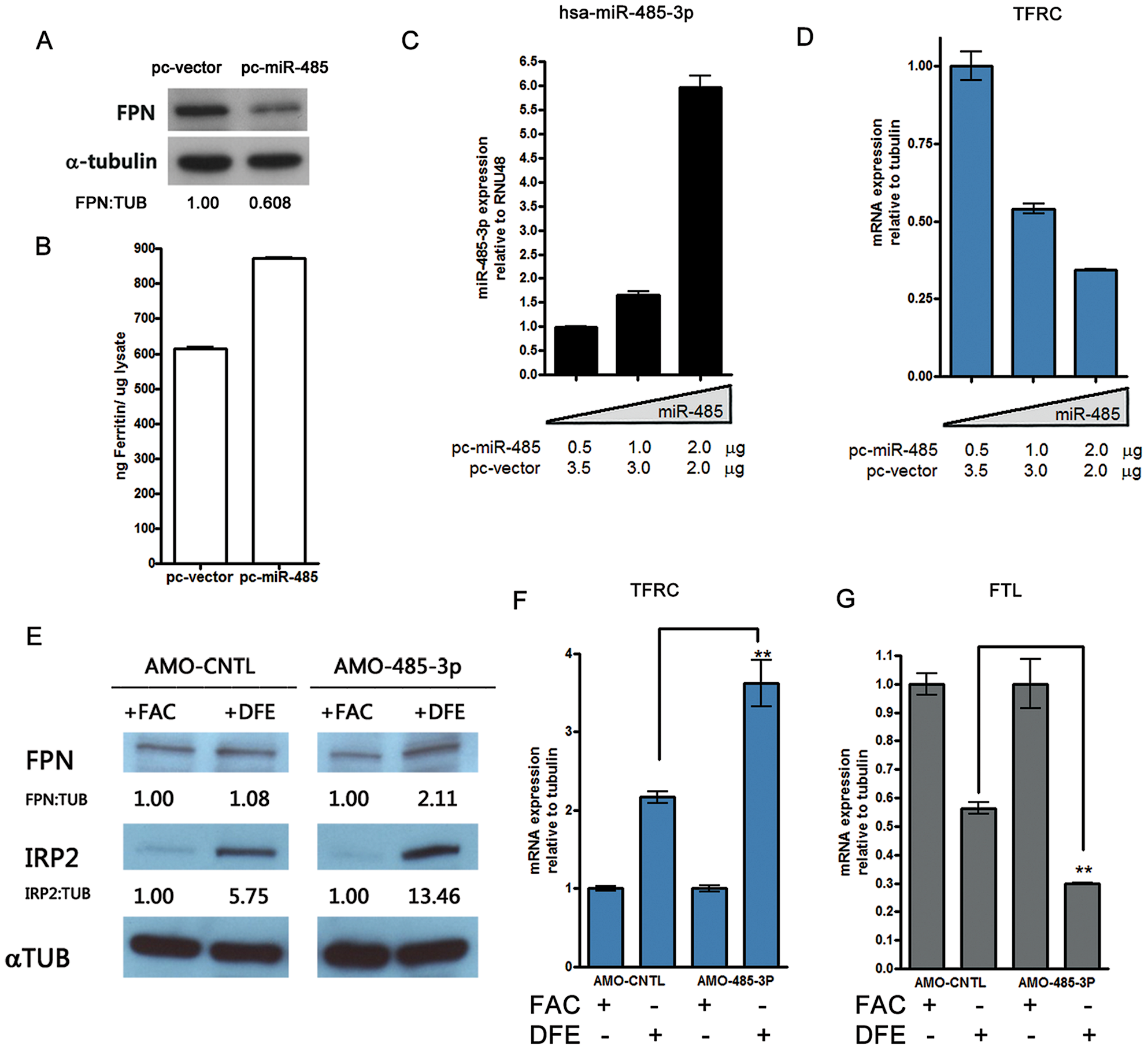 MiR-485-3p-mediated FPN repression is sufficient to alter endogenous cellular iron status.
