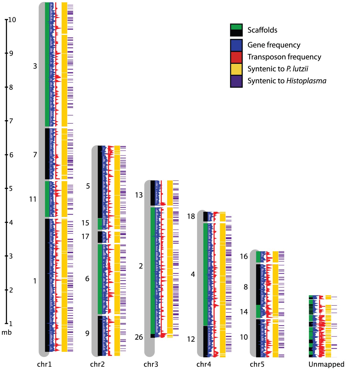 Genome organization of <i>P. brasiliensis</i>.