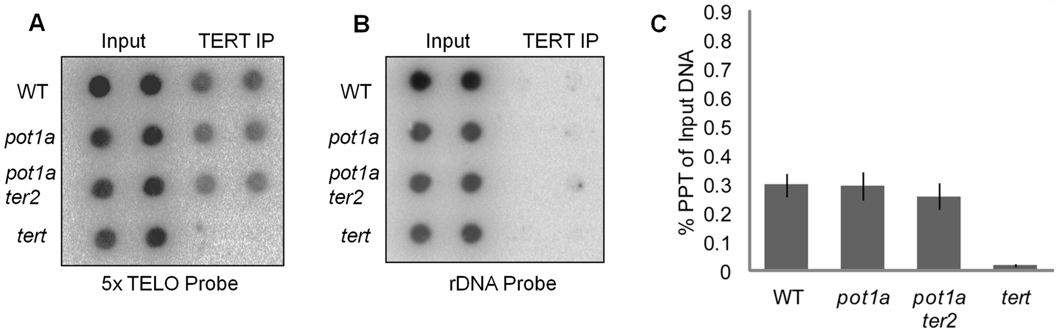 Telomerase associates with telomeres in the absence of POT1a.