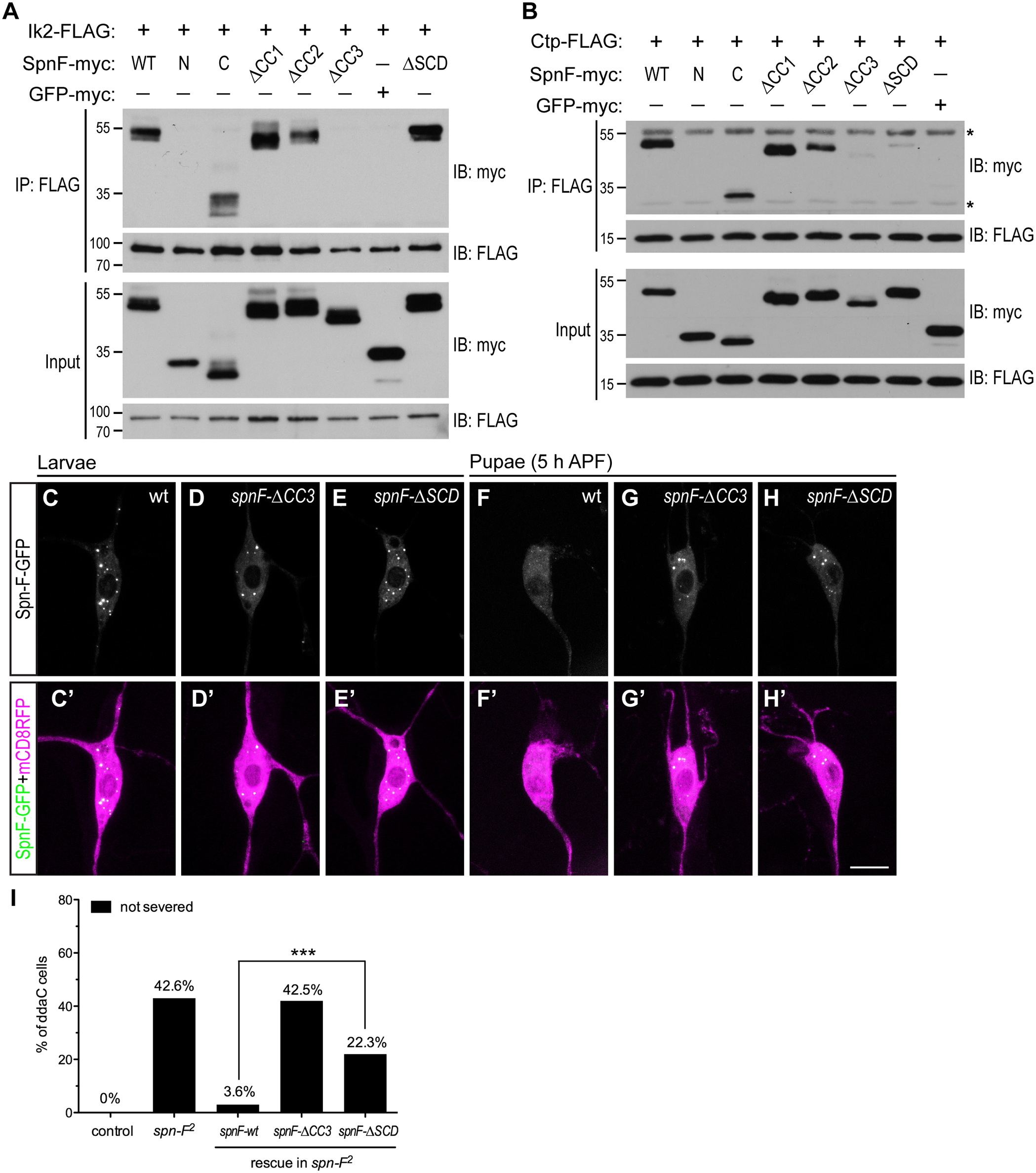 The formation of Ik2/Spn-F/Ctp complex is critical for Spn-F redistribution and dendrite pruning.
